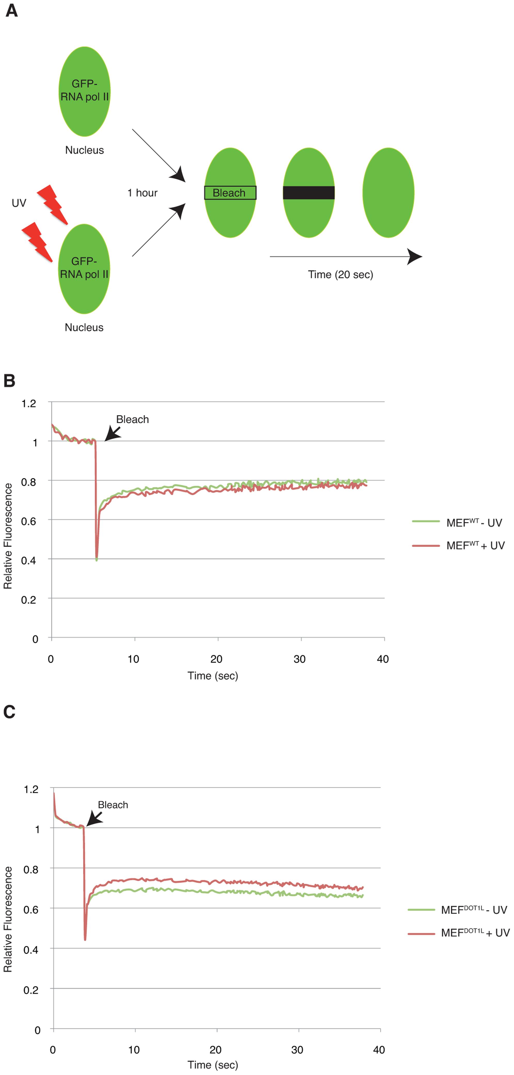 DOT1L ensures binding of RNA Pol II to chromatin after UV irradiation.