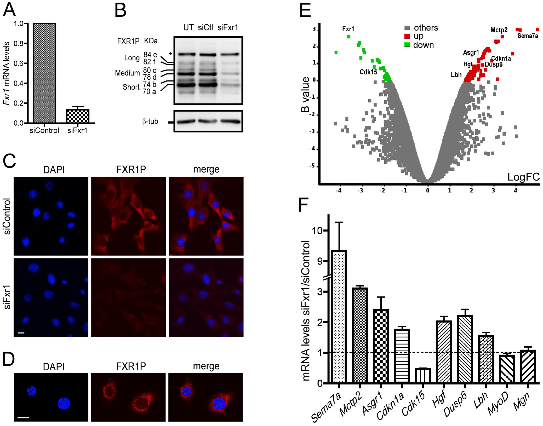 Microarray analysis of <i>Fxr1</i>-depleted C2C12 myoblasts.