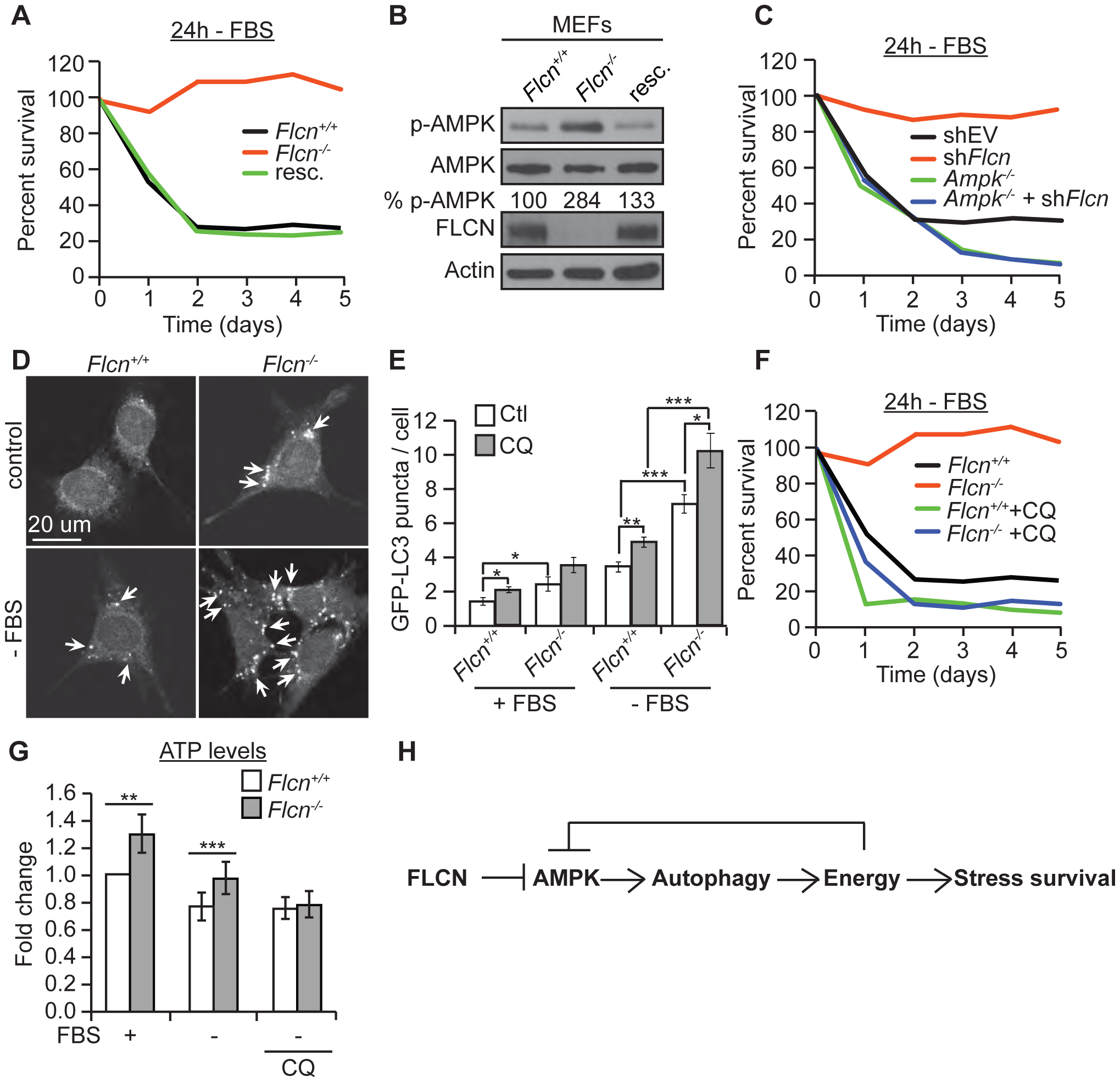 The FLCN-dependent regulation of AMPK, autophagy, and metabolic stress survival is evolutionarily conserved.