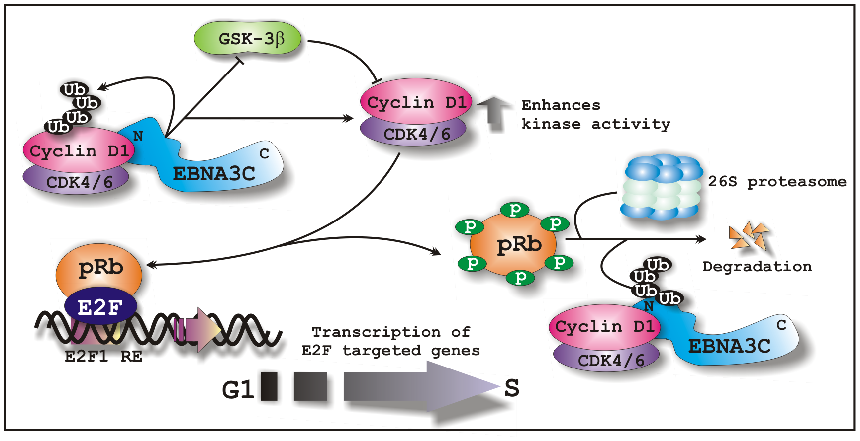 A schematic illustration of how EBNA3C regulates Cyclin D1 stability and functions to facilitate G1 to S phase transition in EBV positive cells.