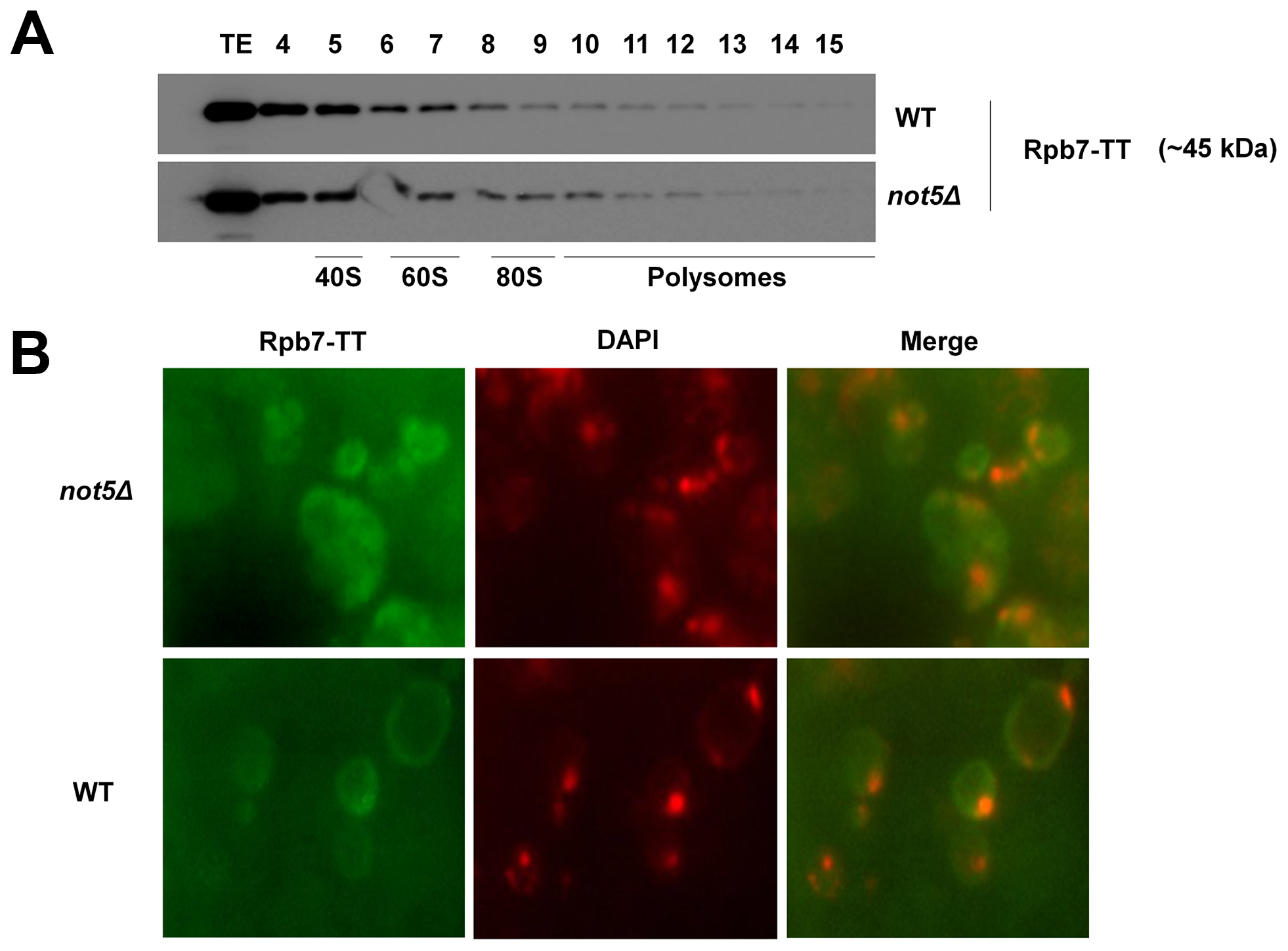 Presence of Rpb7 in polysomes or in the cytoplasm is not affected by Not5.