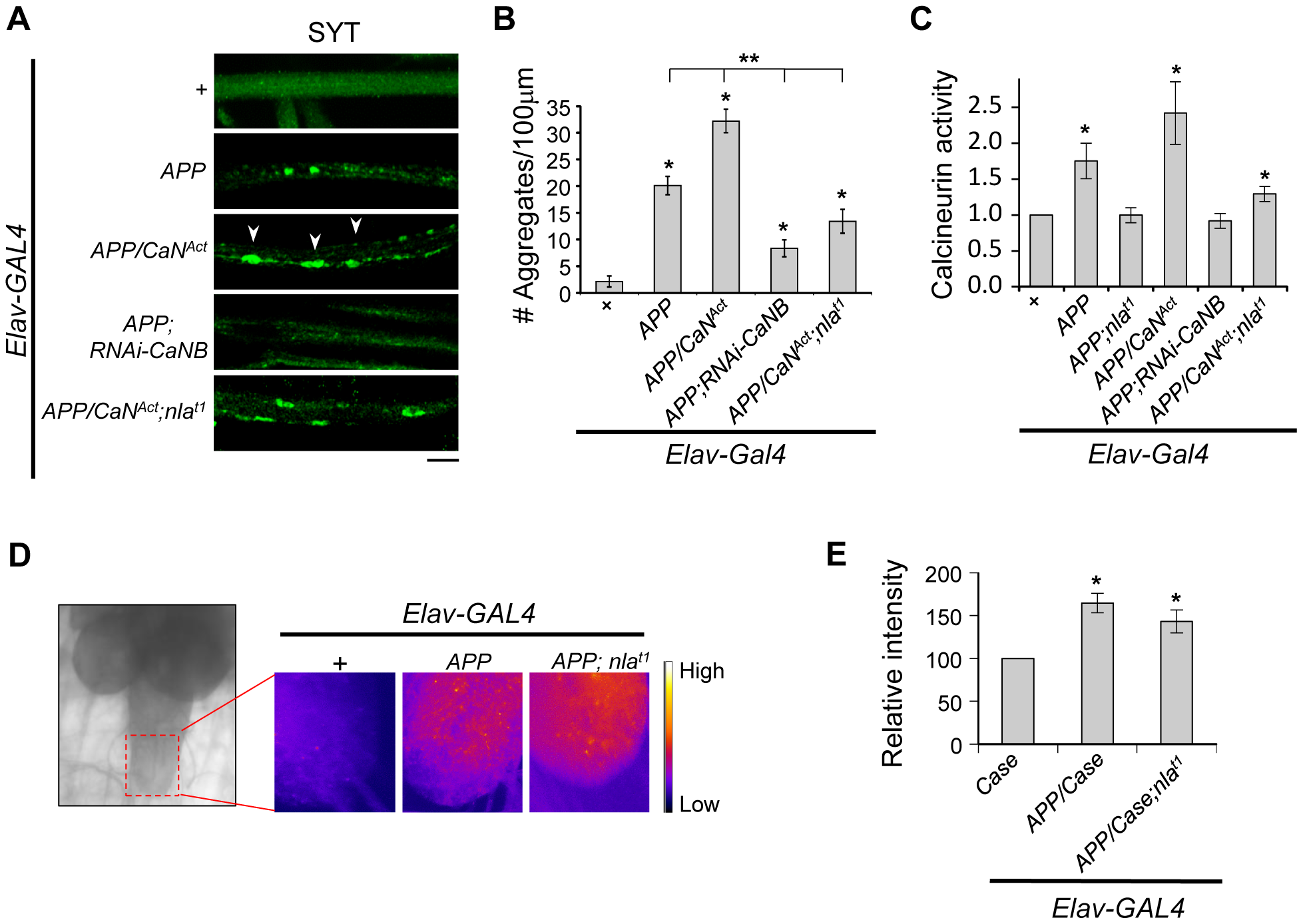 Nebula modulates APP-dependent phenotypes by restoring calcineurin signaling.