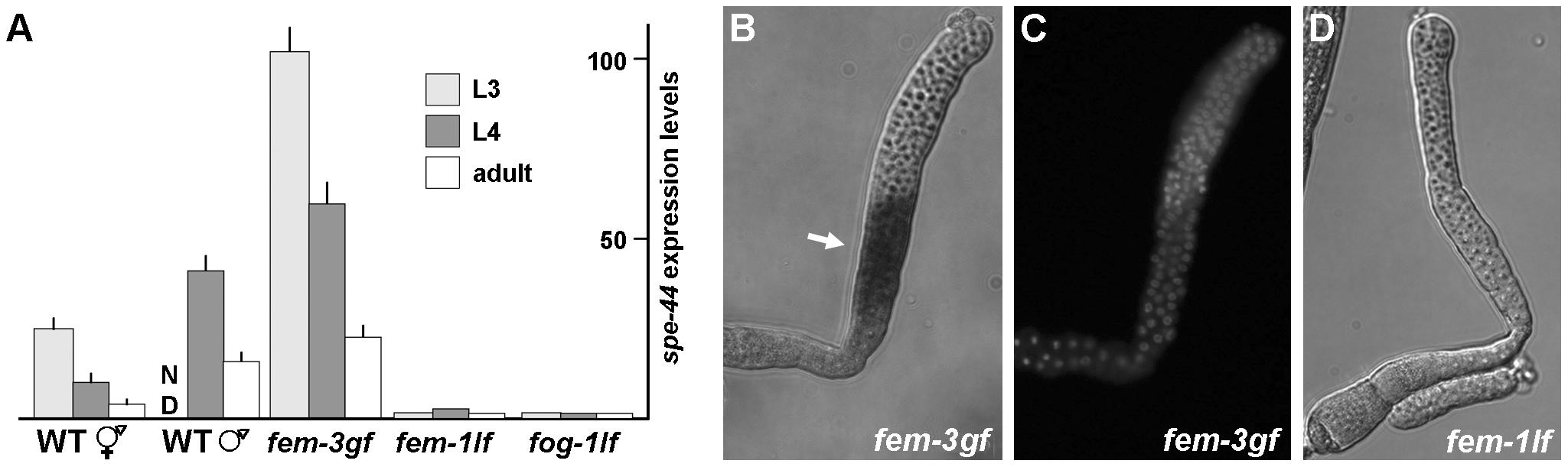 Expression and localization of <i>spe-44</i> mRNA.