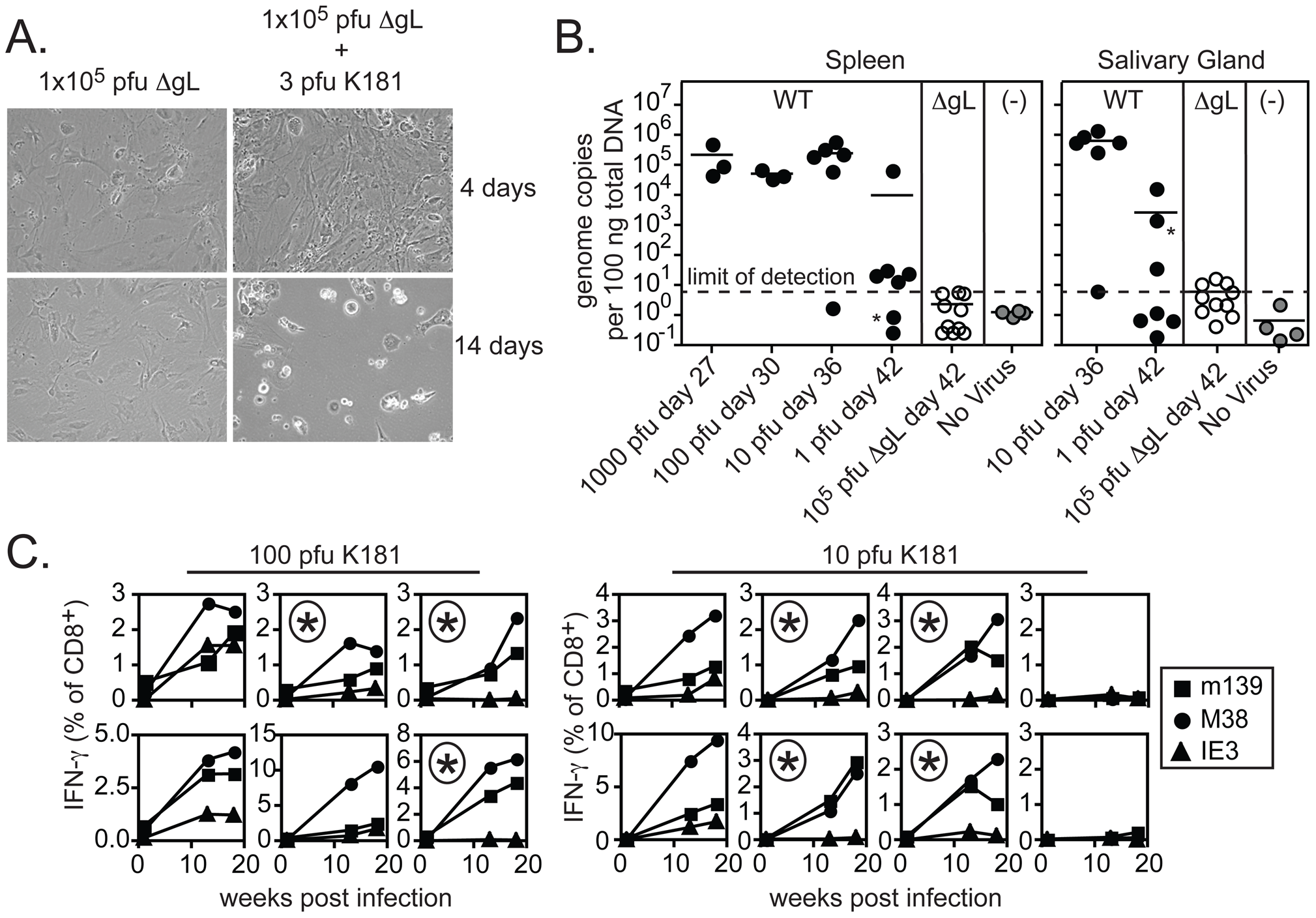 Contaminating spread-competent MCMV cannot account for CD8+ T cell memory inflation.