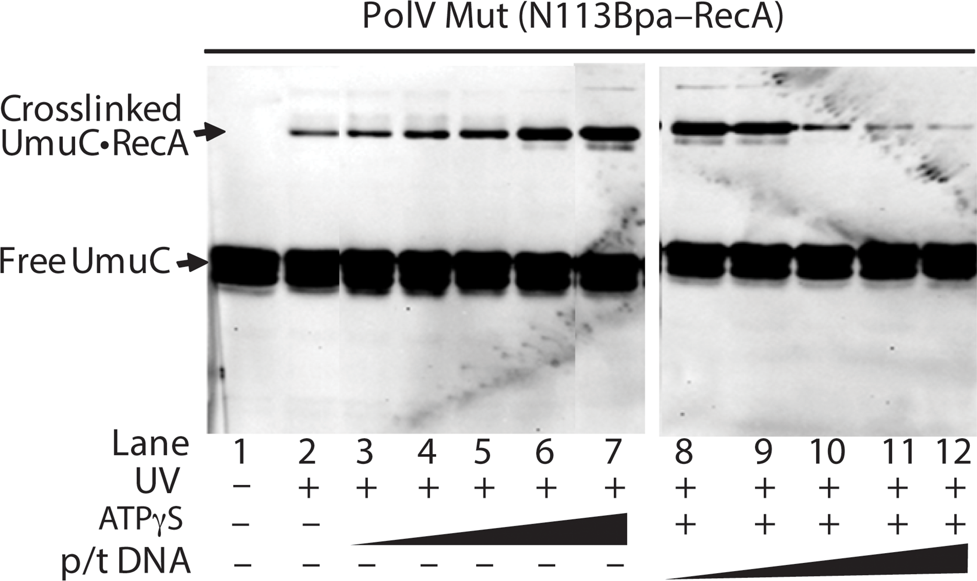 Effects of ATP and primer-template binding on RecA-UmuC cross-linking efficiency in pol V Mut.