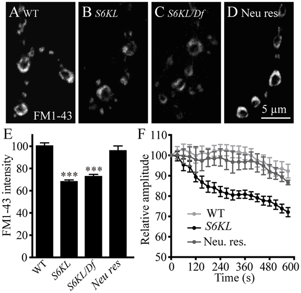 <i>S6KL</i> mutation causes reduced synaptic endocytosis and failure to sustain neurotransmission during high-frequency stimulation.