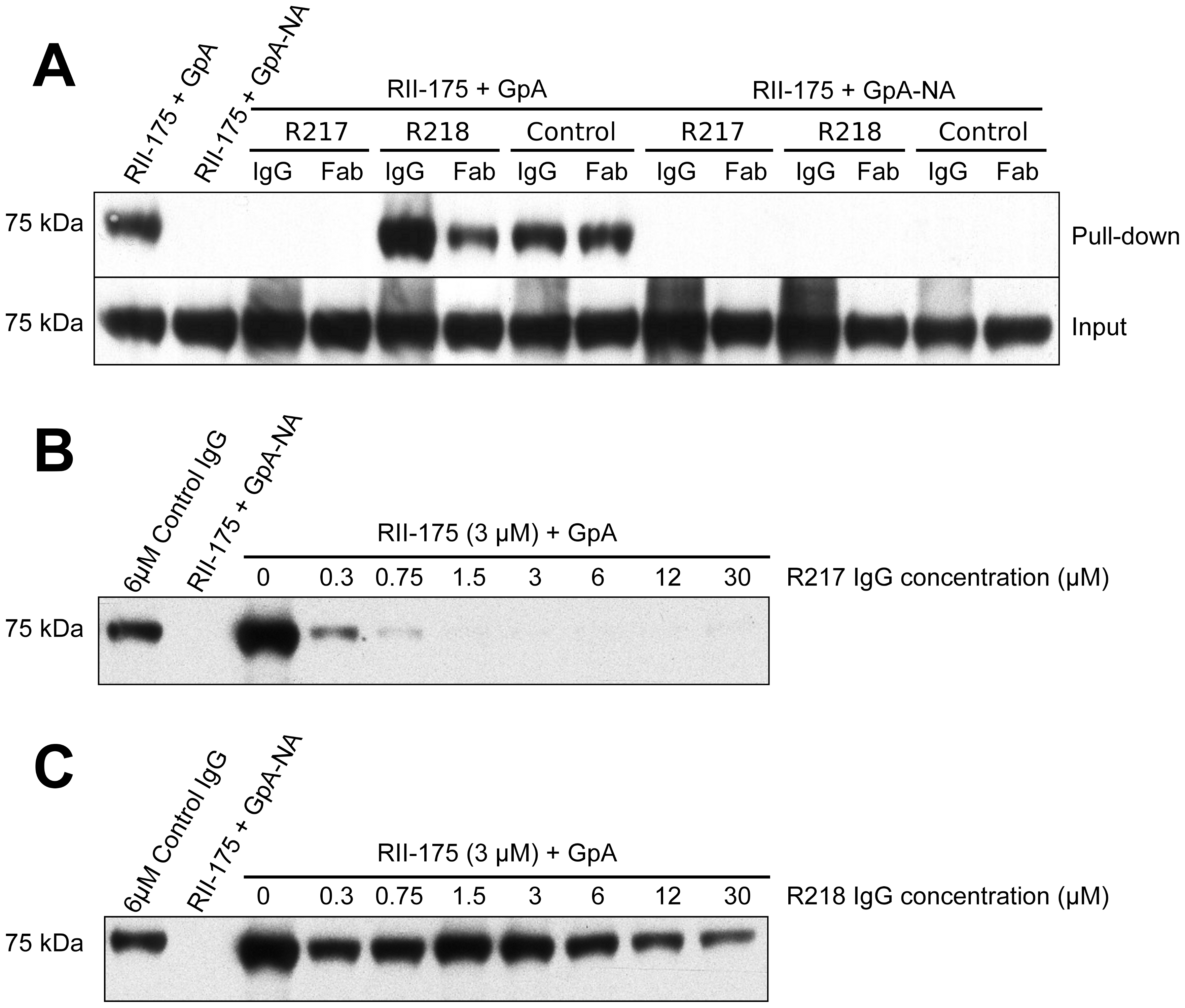 Direct antibody-inhibition of GpA binding by RII.