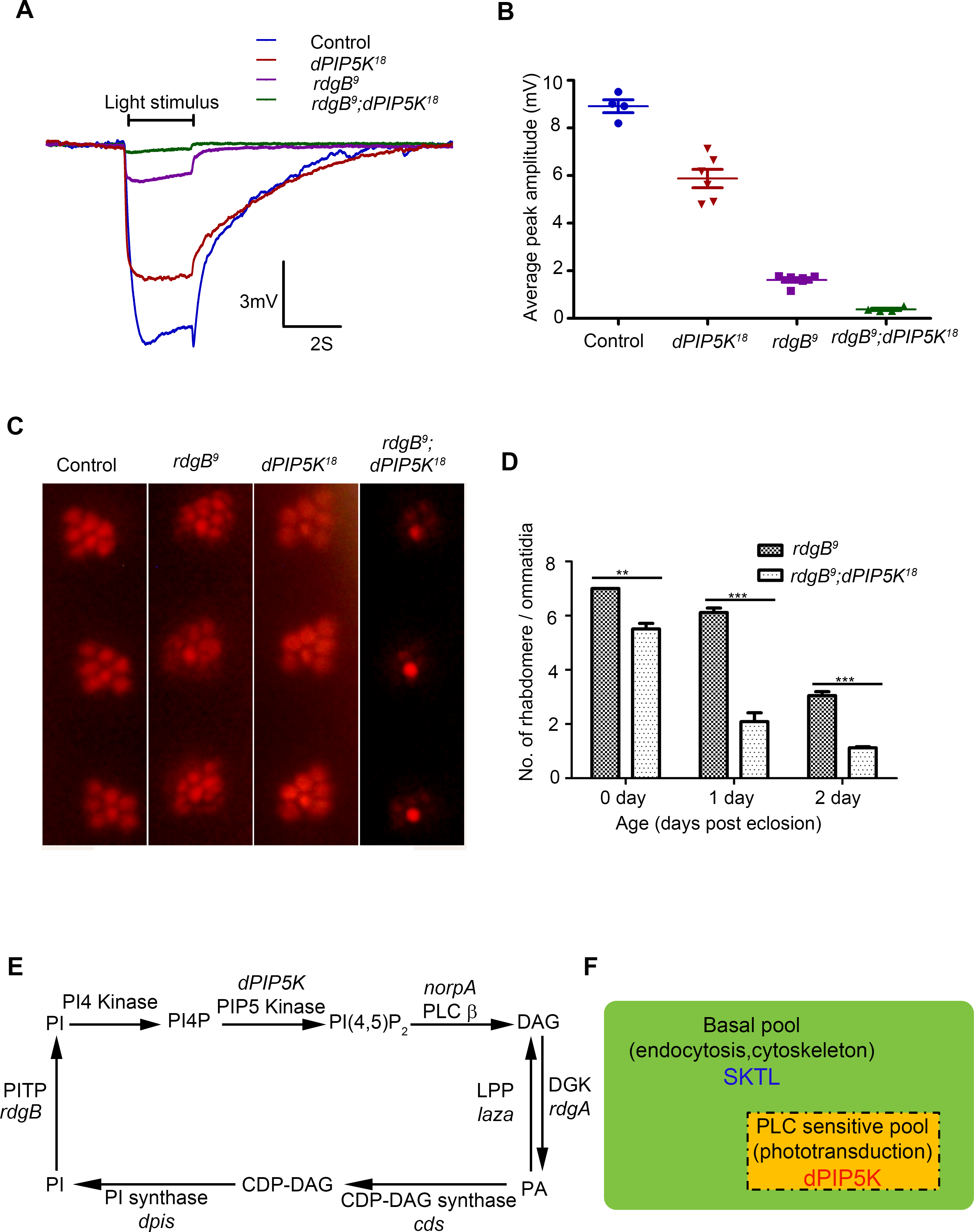 dPIP5K is required to support <i>rdgB</i> dependent function in photoreceptors.
