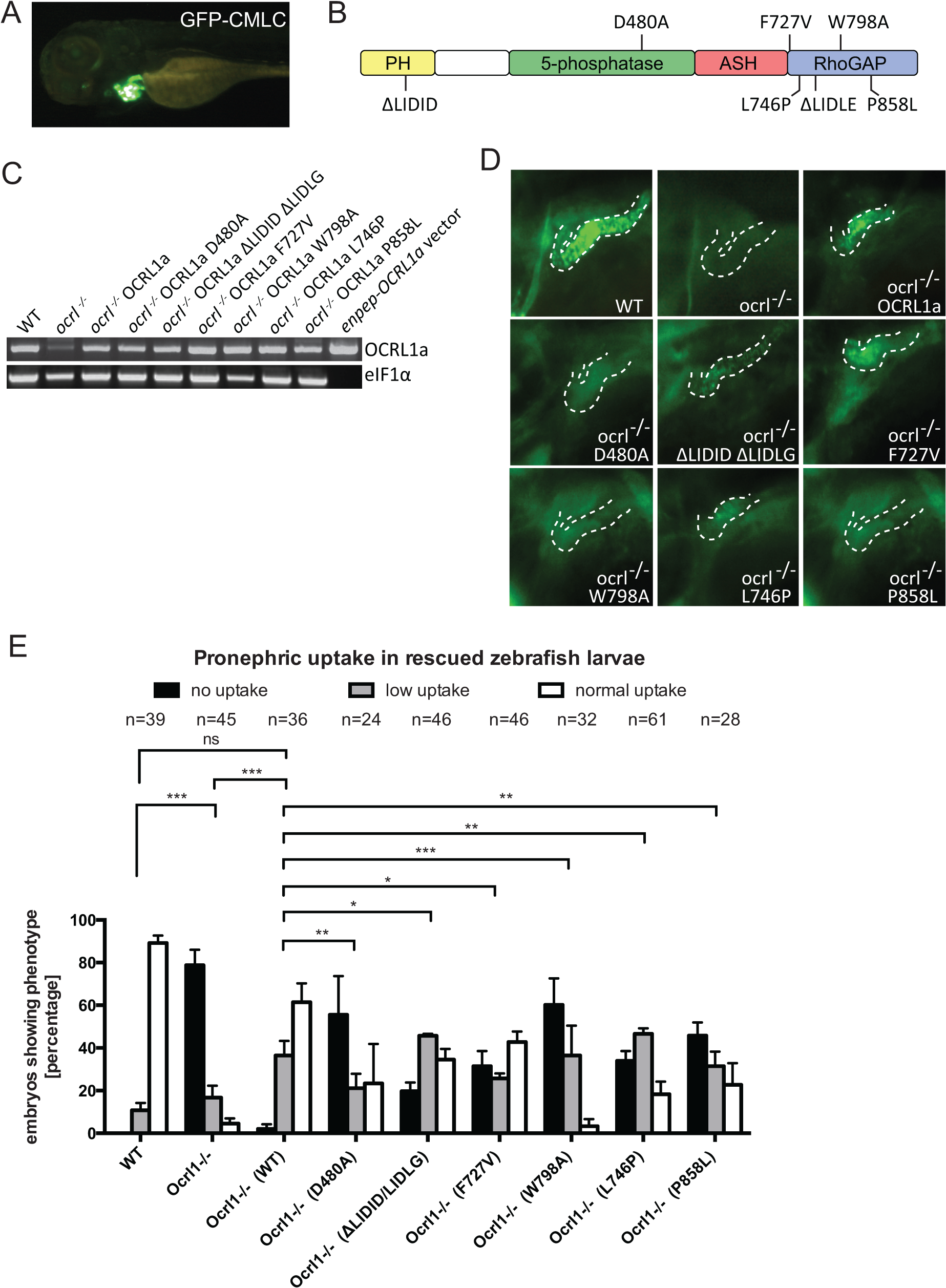 Rescue of the pronephric uptake defect in OCRL1 deficient embryos.