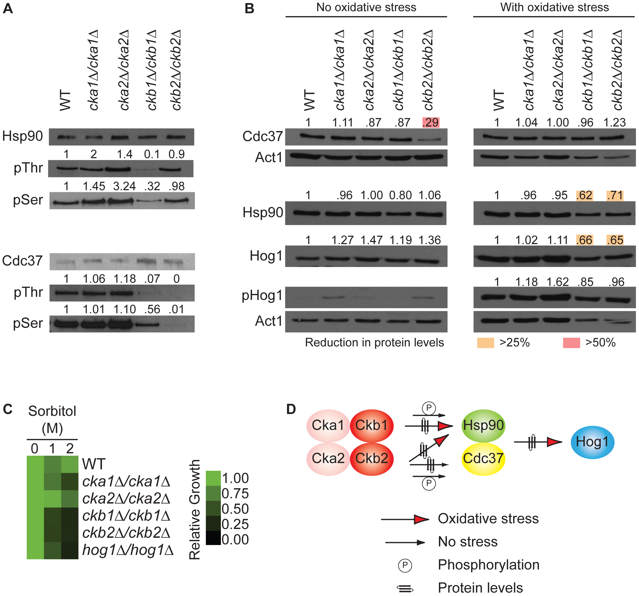 The protein kinase CK2 regulatory subunits regulate function of the Hsp90/Cdc37 protein complex.