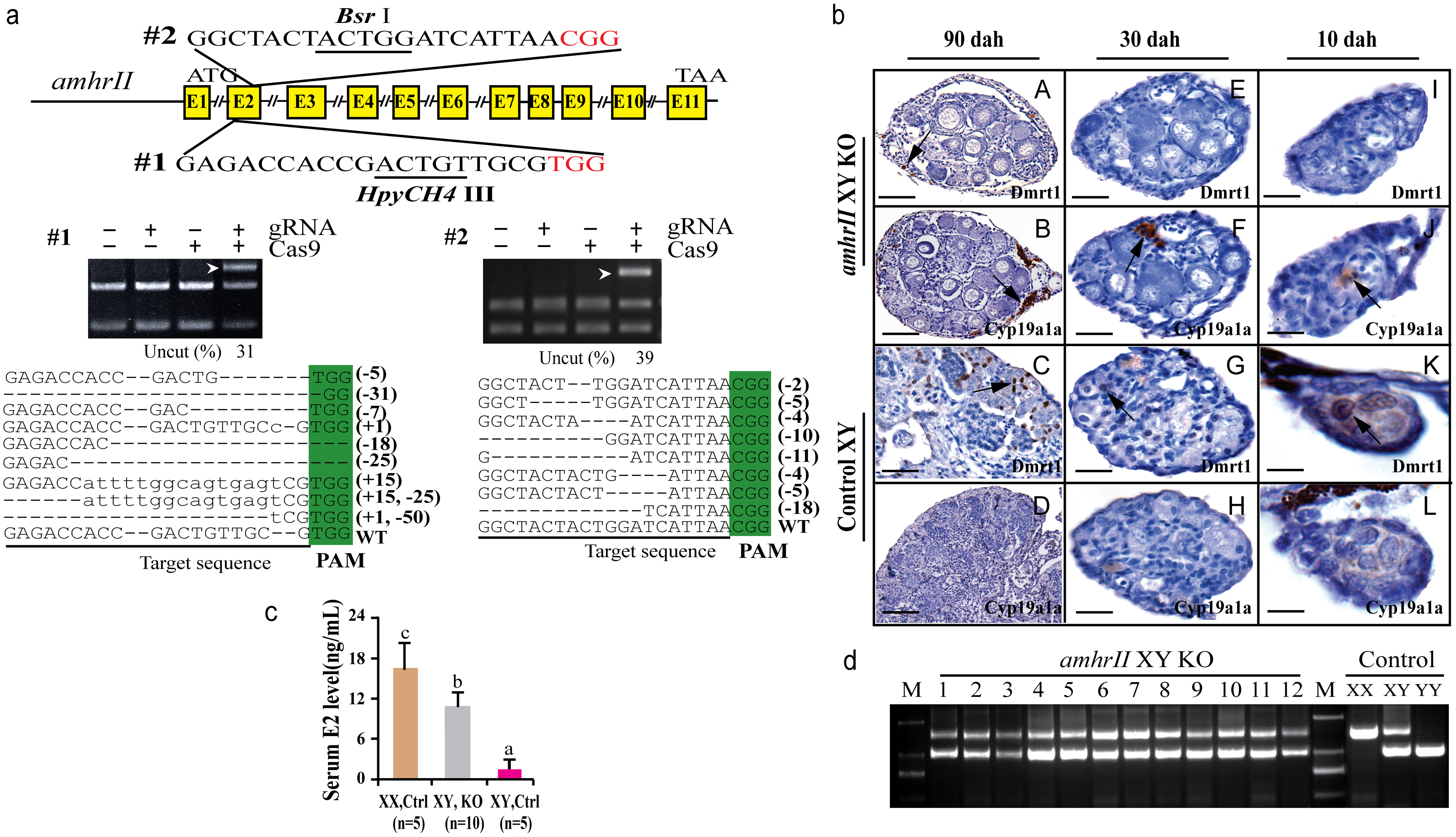Knockout of <i>amhrII</i> by CRISPR/Cas9 resulted in male to female sex reversal in XY fish.
