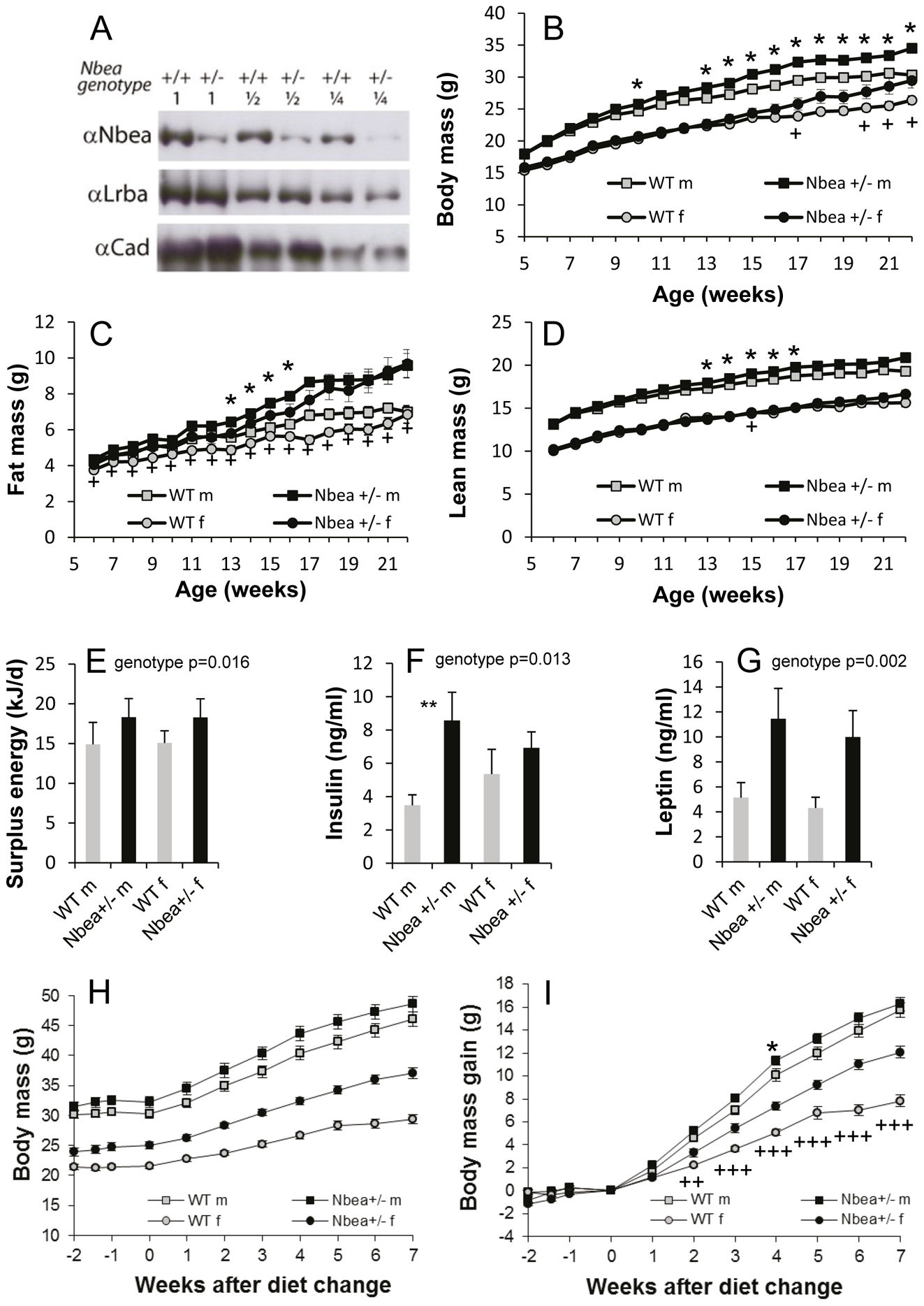Nbea-haploinsufficient mice develop higher body weight due to higher adipose tissue mass.