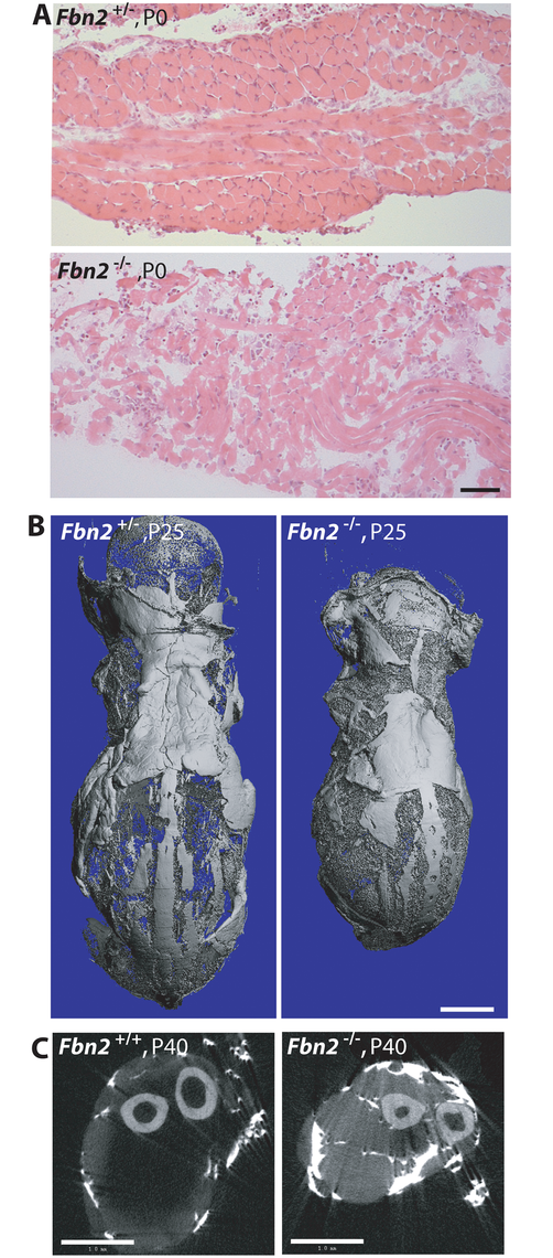 Muscle and fat in <i>Fbn2</i> null mice on a C57/Bl6 background.