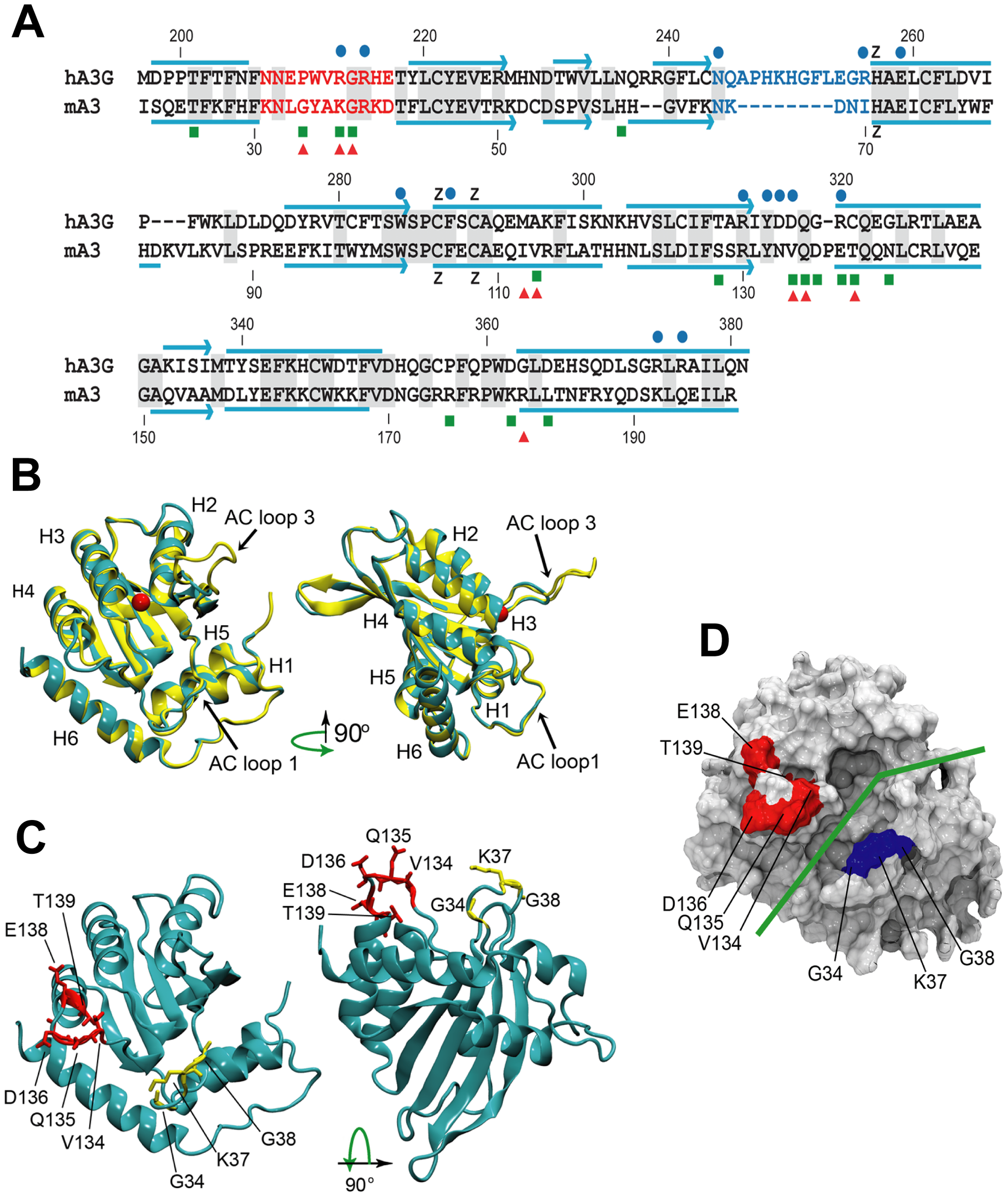 Comparative sequence and structure of the active cytidine deaminase regions of hA3G and mA3.