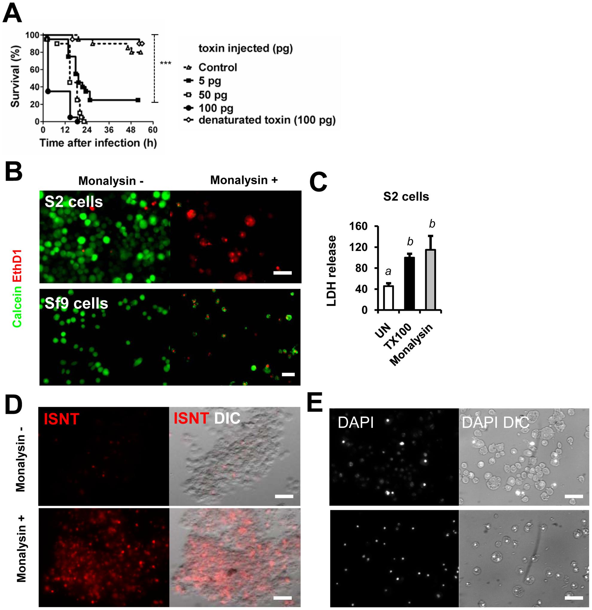 <i>Monalysin</i> encodes a cytotoxic protein secreted by <i>P. entomophila</i>.