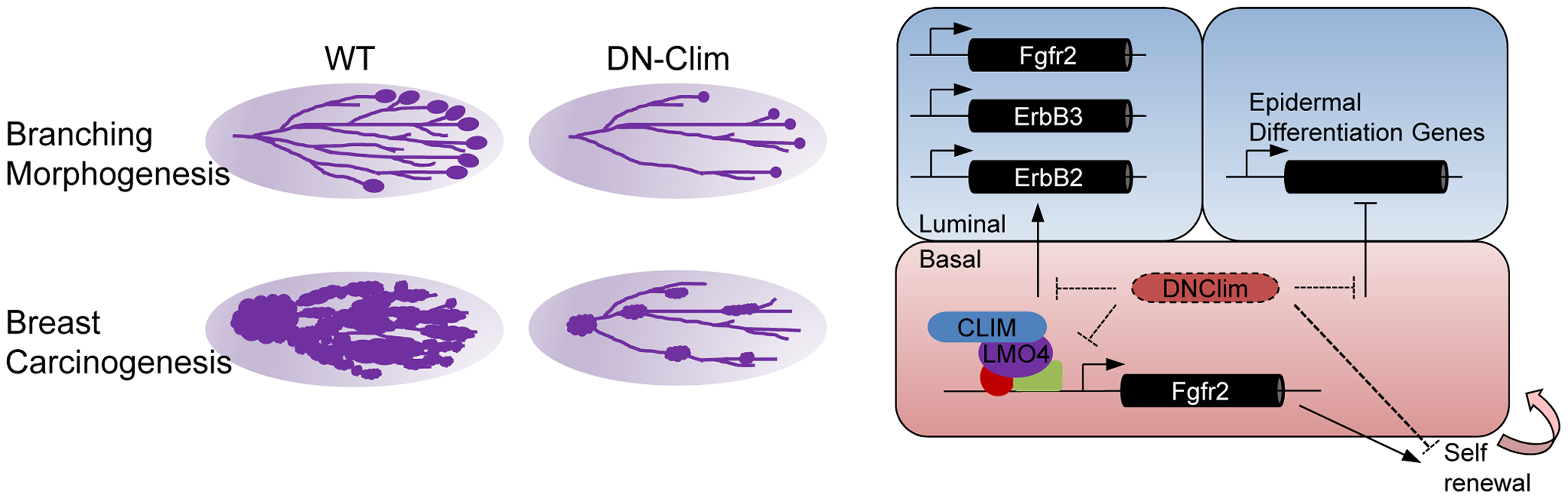 Regulatory roles for Clims in normal development and cancer.