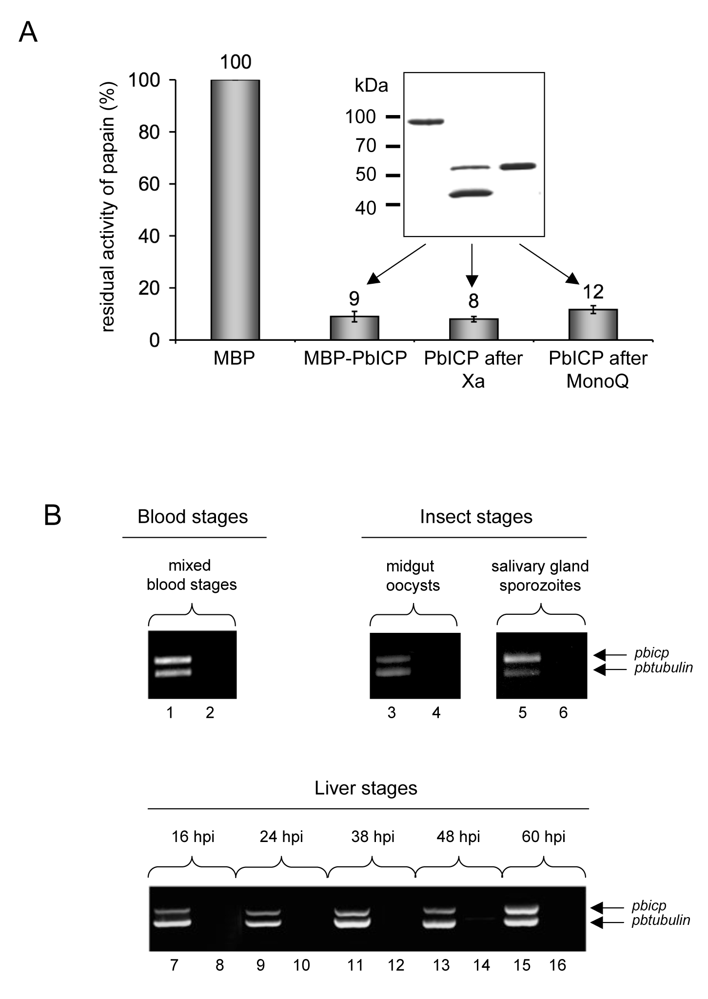PbICP is a potent inhibitor of C1 cysteine proteases and the <i>pbicp</i> gene is constitutively transcribed.