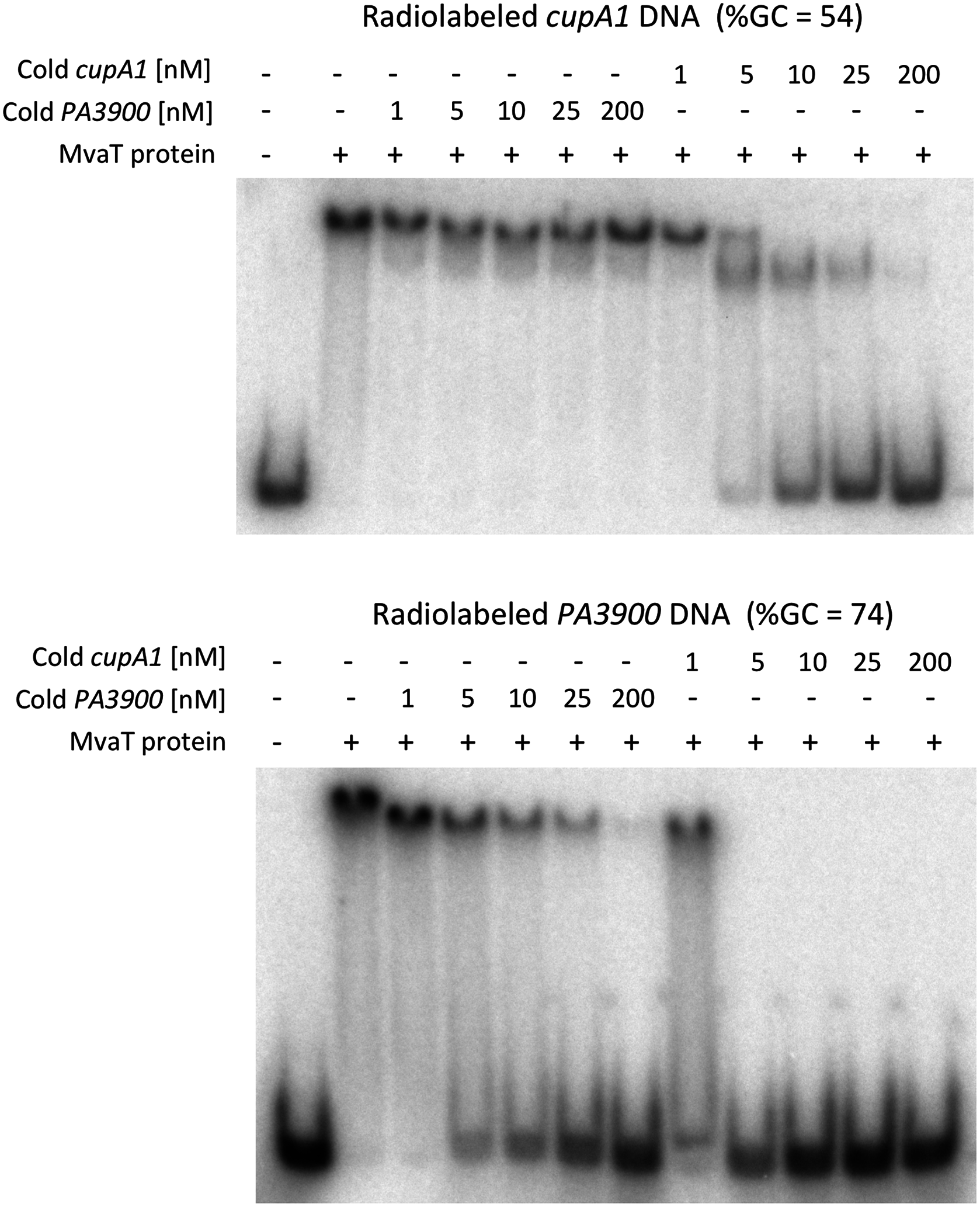 DNA competition binding assay for MvaT binding to <i>cupA1</i> promoter DNA and <i>PA3900</i> fragment.