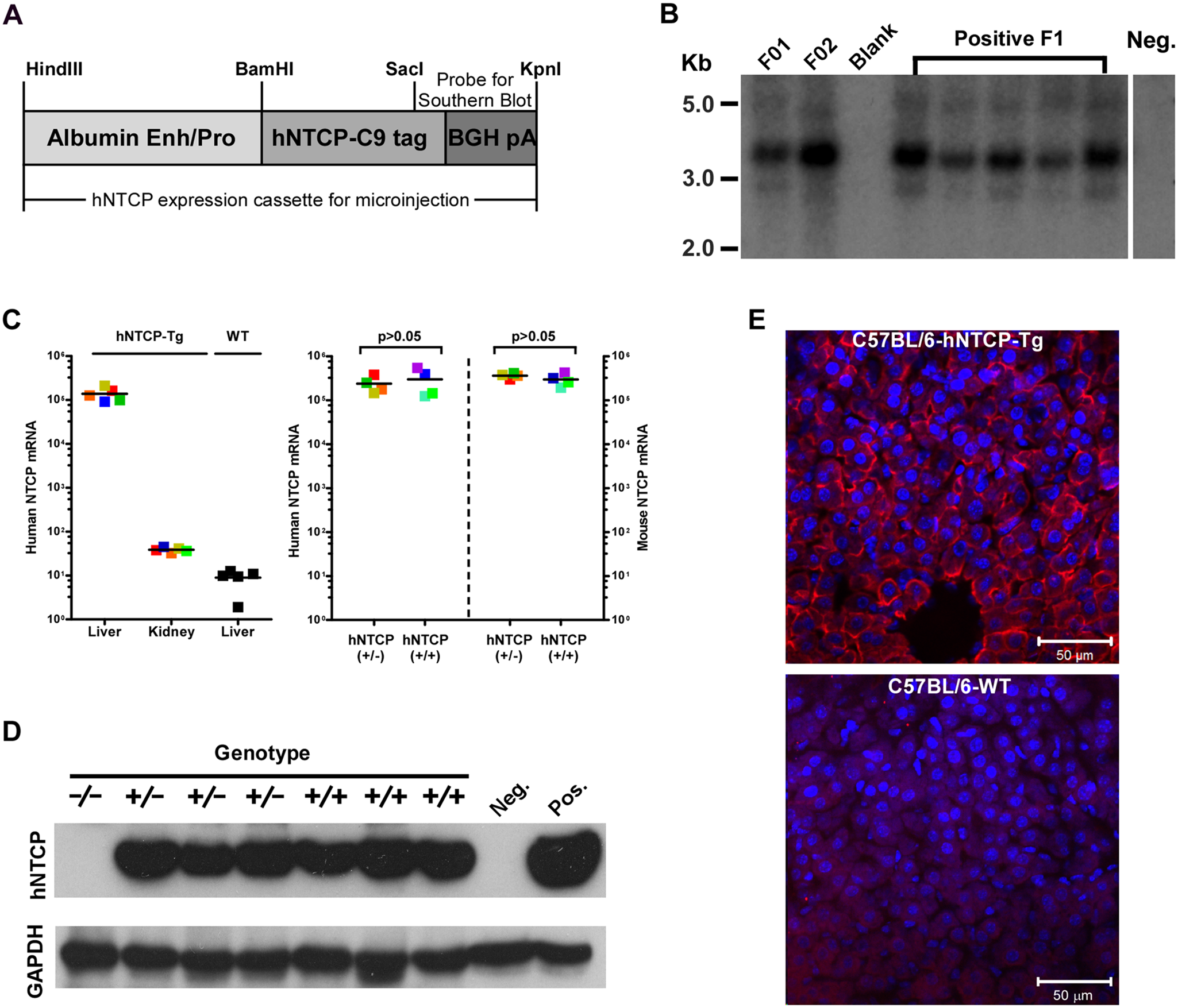 Human NTCP transgenic (hNTCP-Tg) C57BL/6 mice.