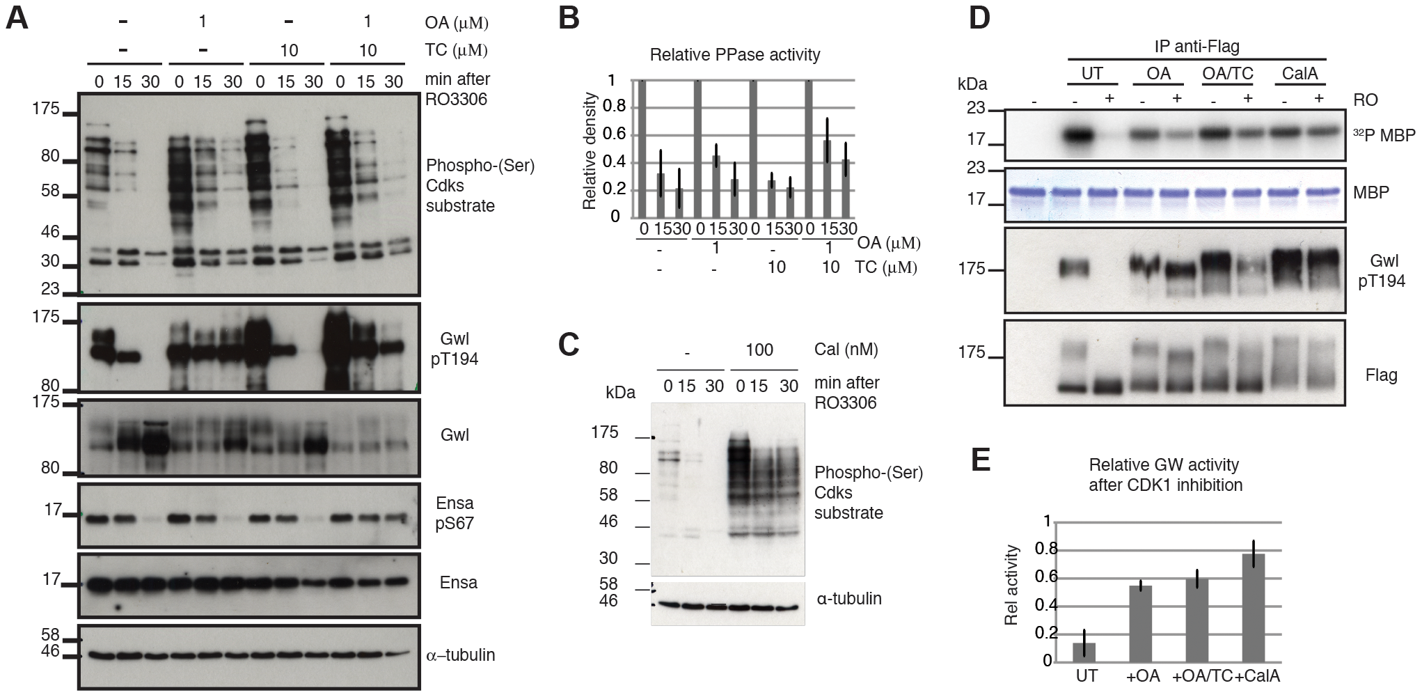 Characterizing Gwl, Ensa/ARPP19 and SP dephosphorylation during mitotic exit.