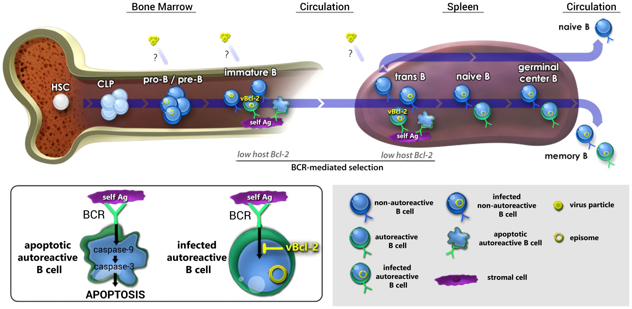 Working model: vBcl-2 promotes the survival of developing B cells and the maintenance of latency in the mature B cell reservoir.