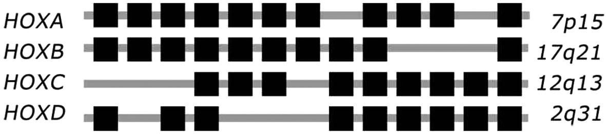 Čtyři komplexy HOX genů u člověka, s 9 až 11 geny (z teoretických 13 genů), jejichž identita je určena na základě sekvenční homologie a pozice v komplexu