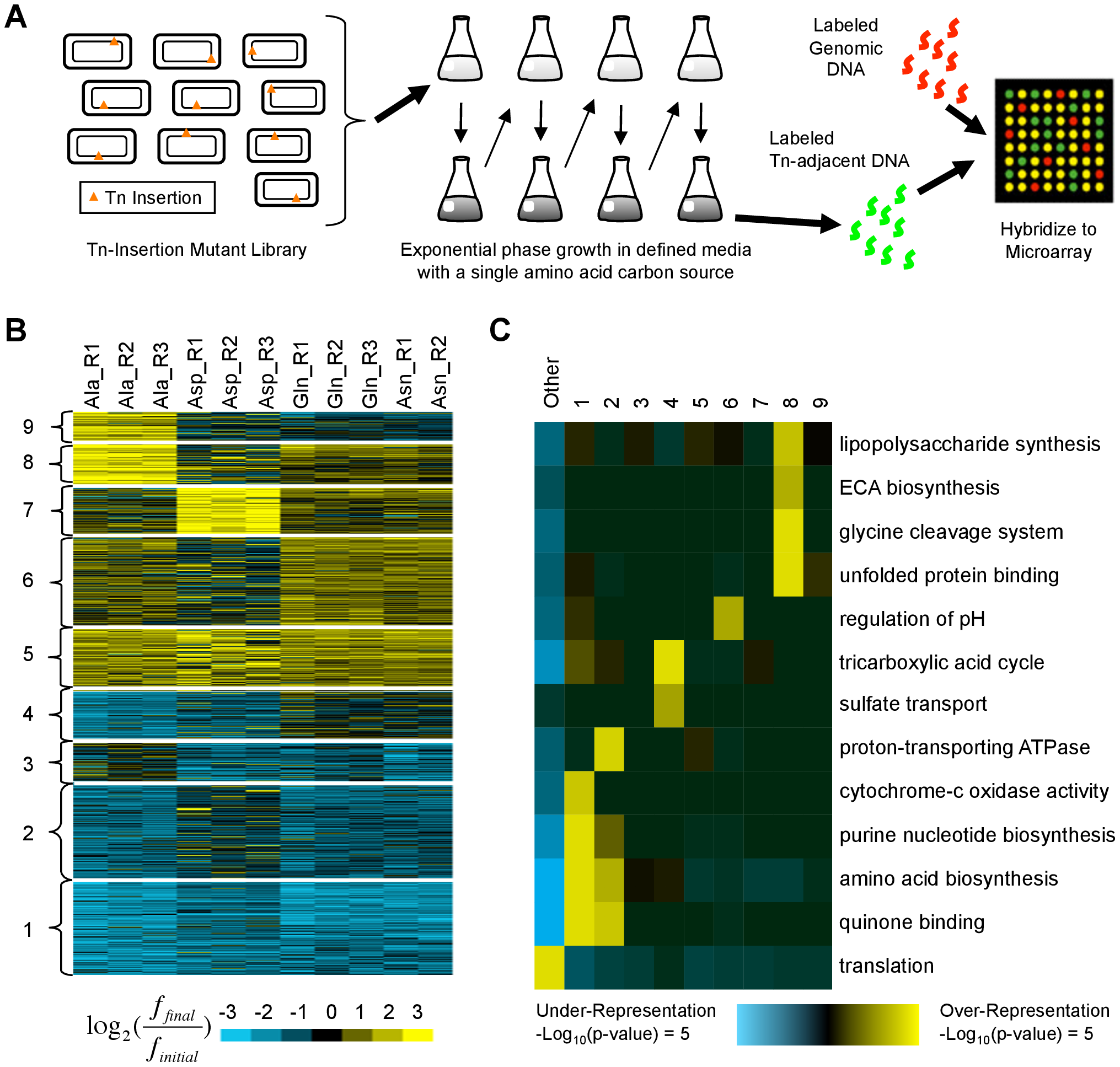 Identification and characterization of transposon insertion locations that alter fitness in single amino acid media.