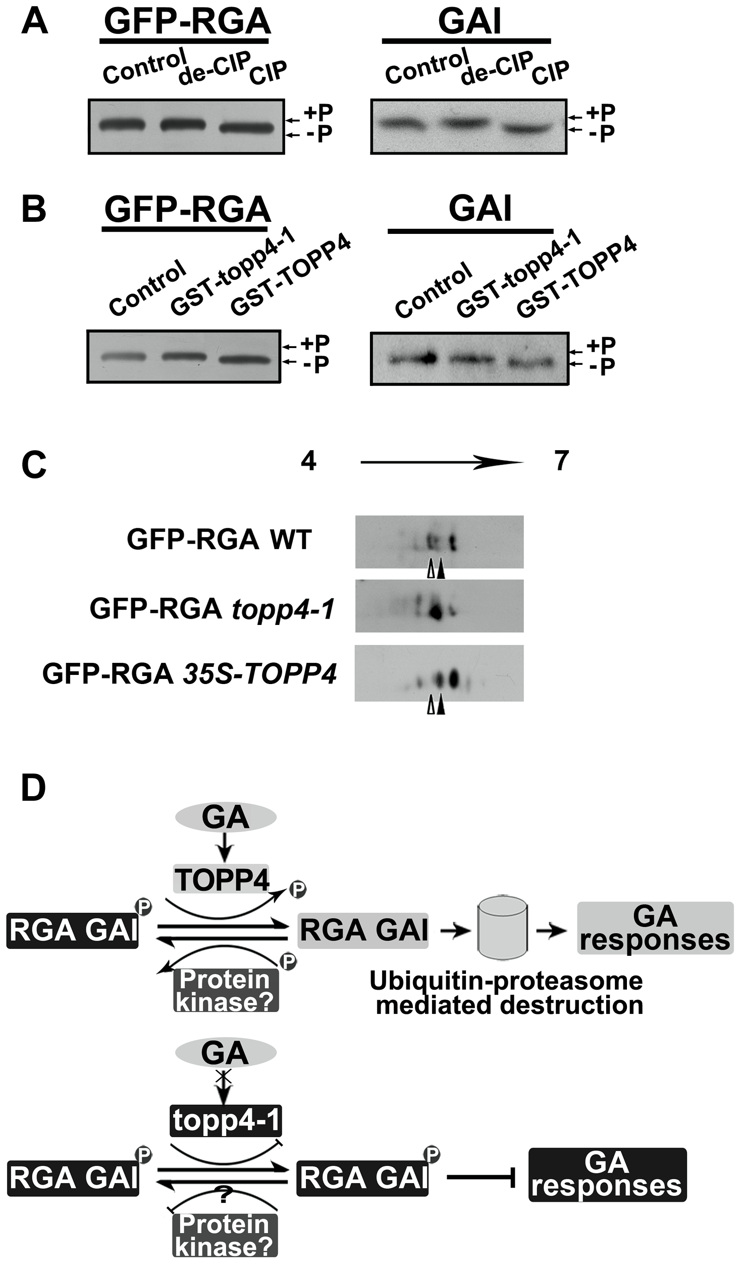 DELLA proteins are direct substrates of TOPP4.