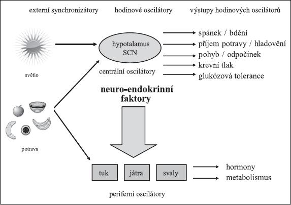 Schéma 1. Synchronizace vnitřních biologických rytmů Použité zdroje: Maury E, et al. (9), Froy O. (11)