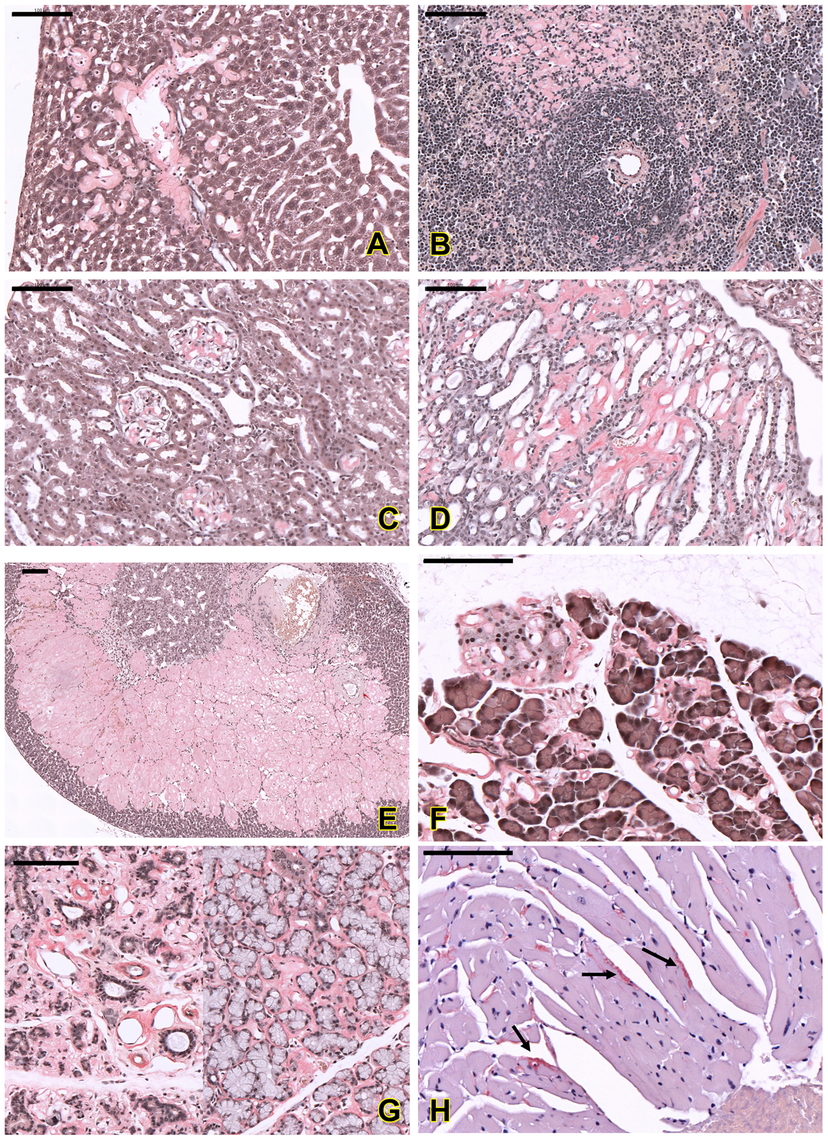Histopathological analysis of amyloids in different organs of the affected mice.