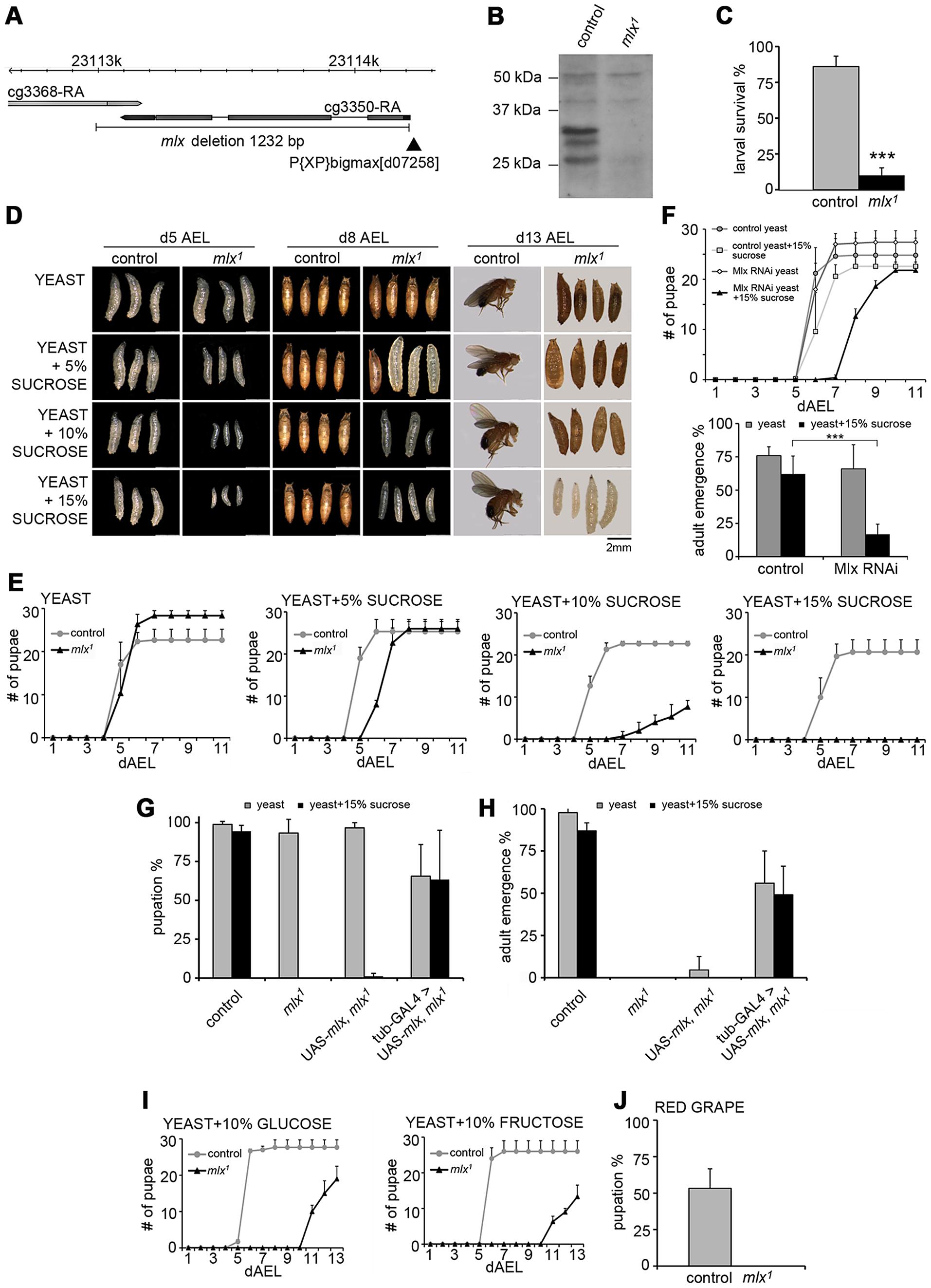 <i>Drosophila</i> larvae lacking functional Mlx display strong intolerance to dietary sugars.