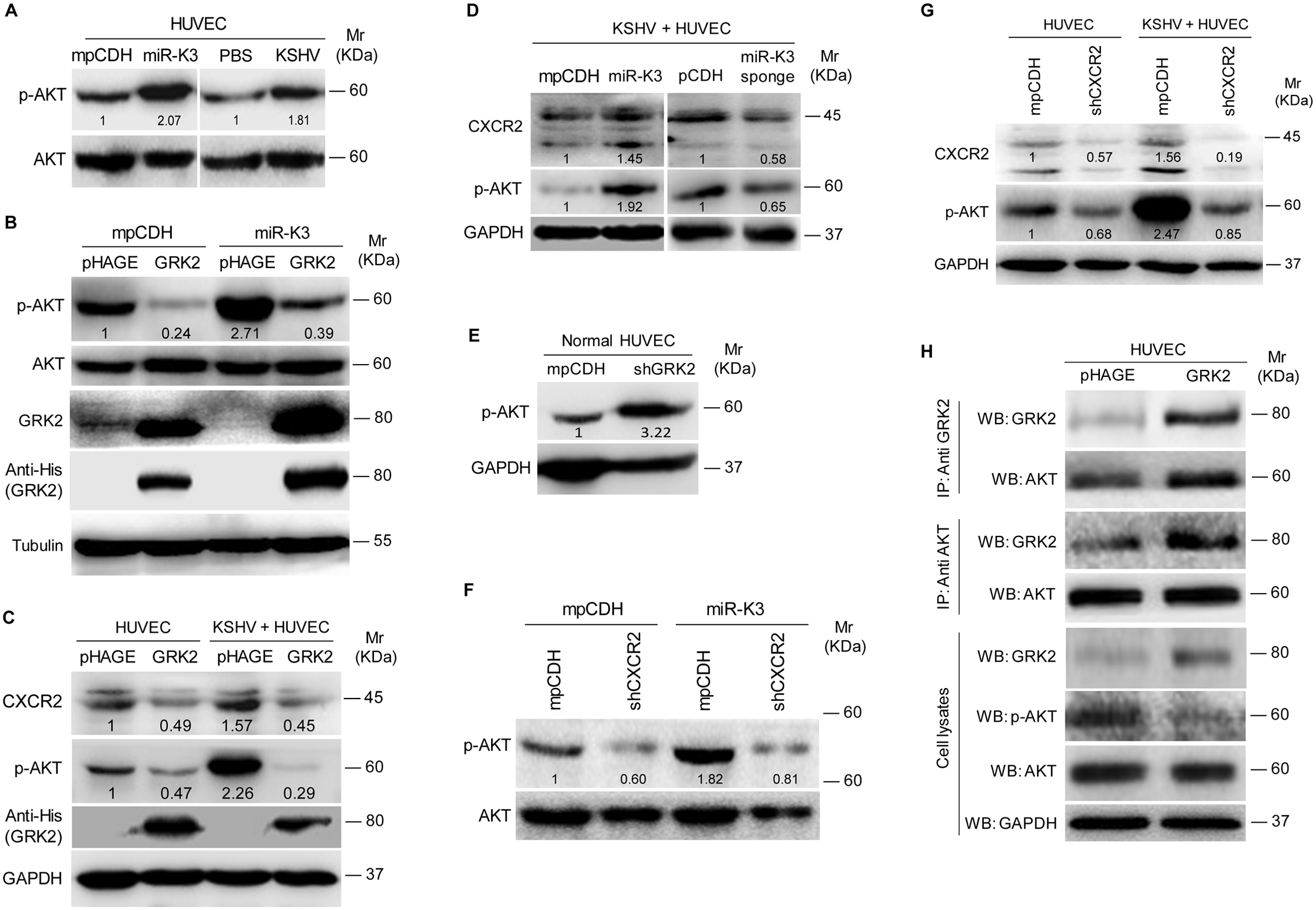 MiR-K3 enhances the activation of AKT in HUVEC by targeting GRK2.