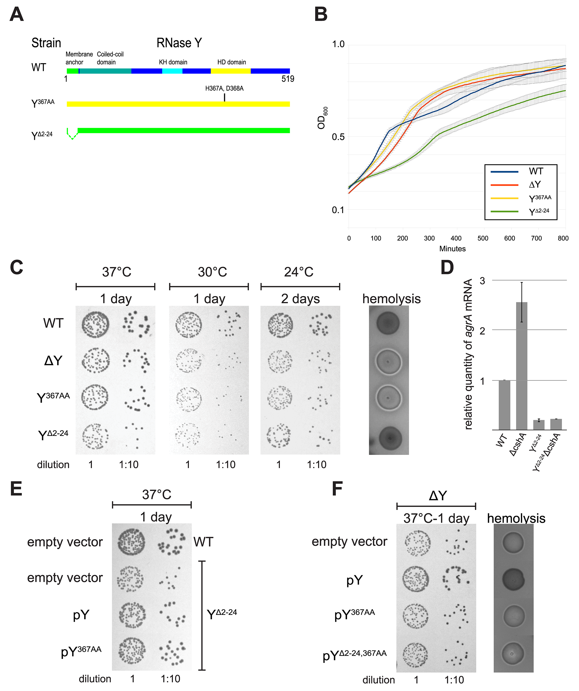 Removal of the membrane anchor enables RNase Y to suppress the phenotypes of a ΔcshA mutant.