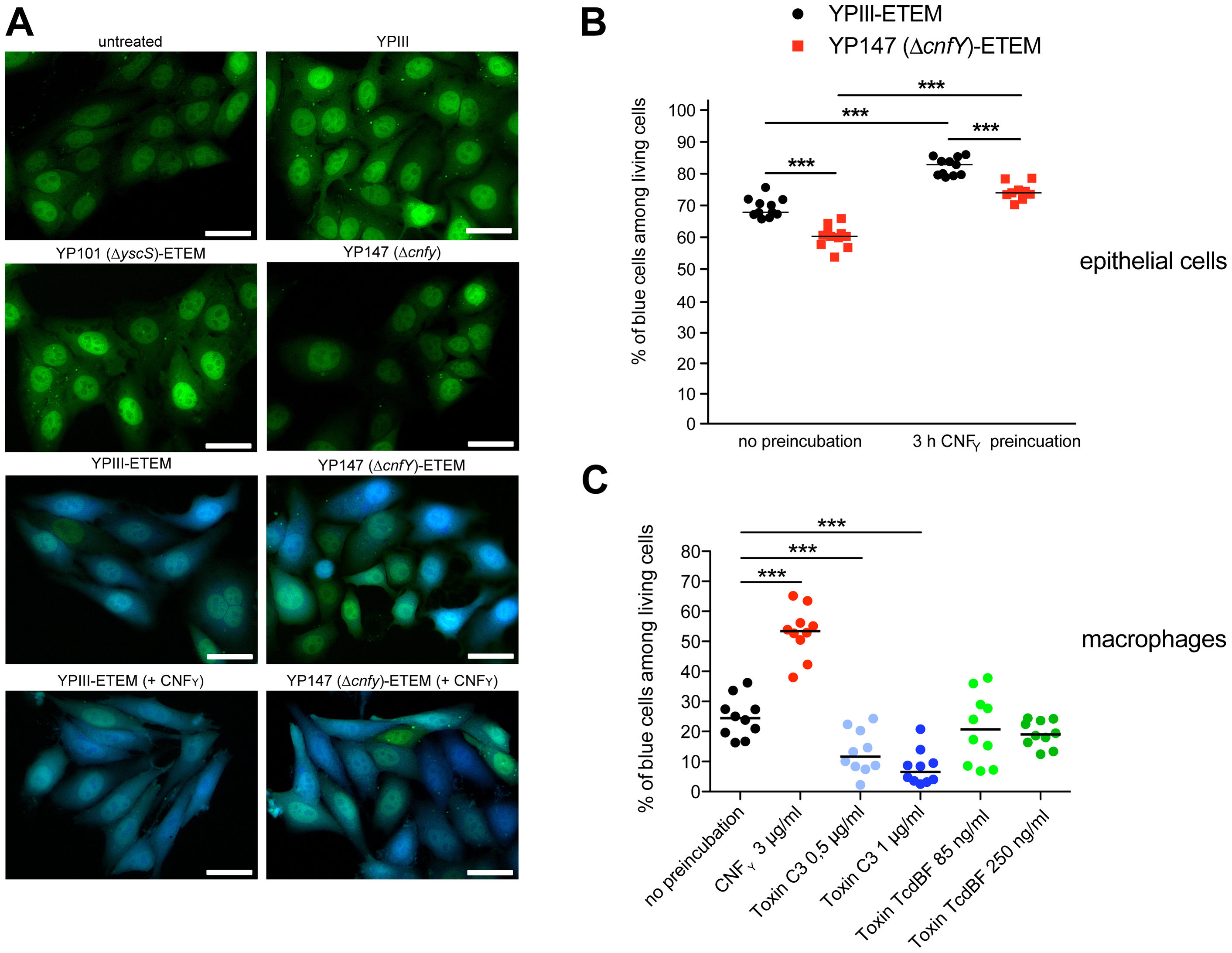 CNF<sub>Y</sub>-mediated increase of Yop delivery into epithelial cells and macrophages.