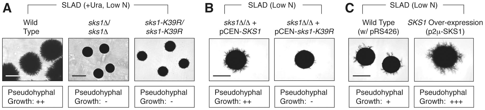 Phenotypic analysis of <i>SKS1</i> mutants.