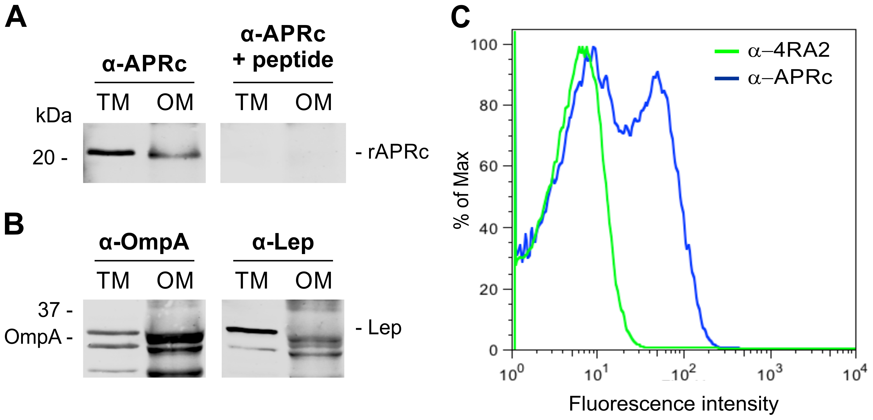 Recombinant full-length APRc accumulates in the outer membrane in <i>E. coli</i> and the soluble catalytic domain is exposed to the cell surface.