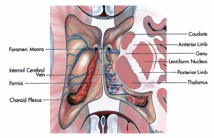 Anatomie thalamu.