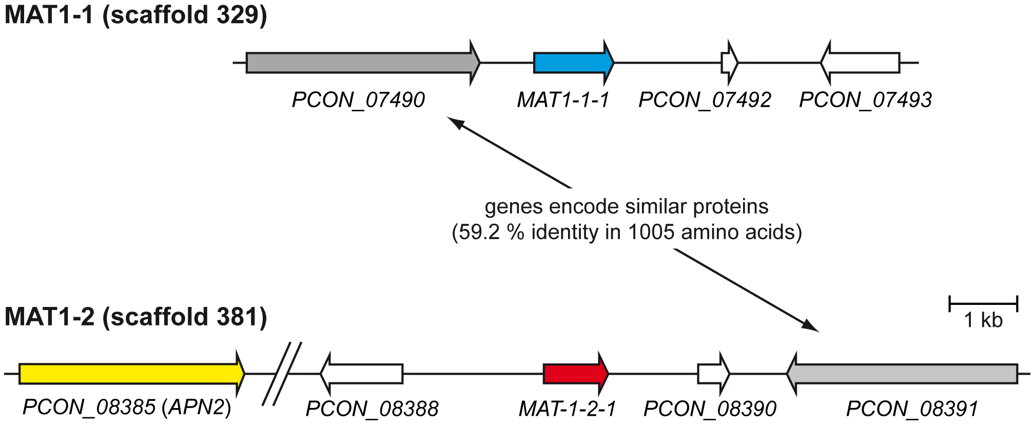Organization of the mating type loci.
