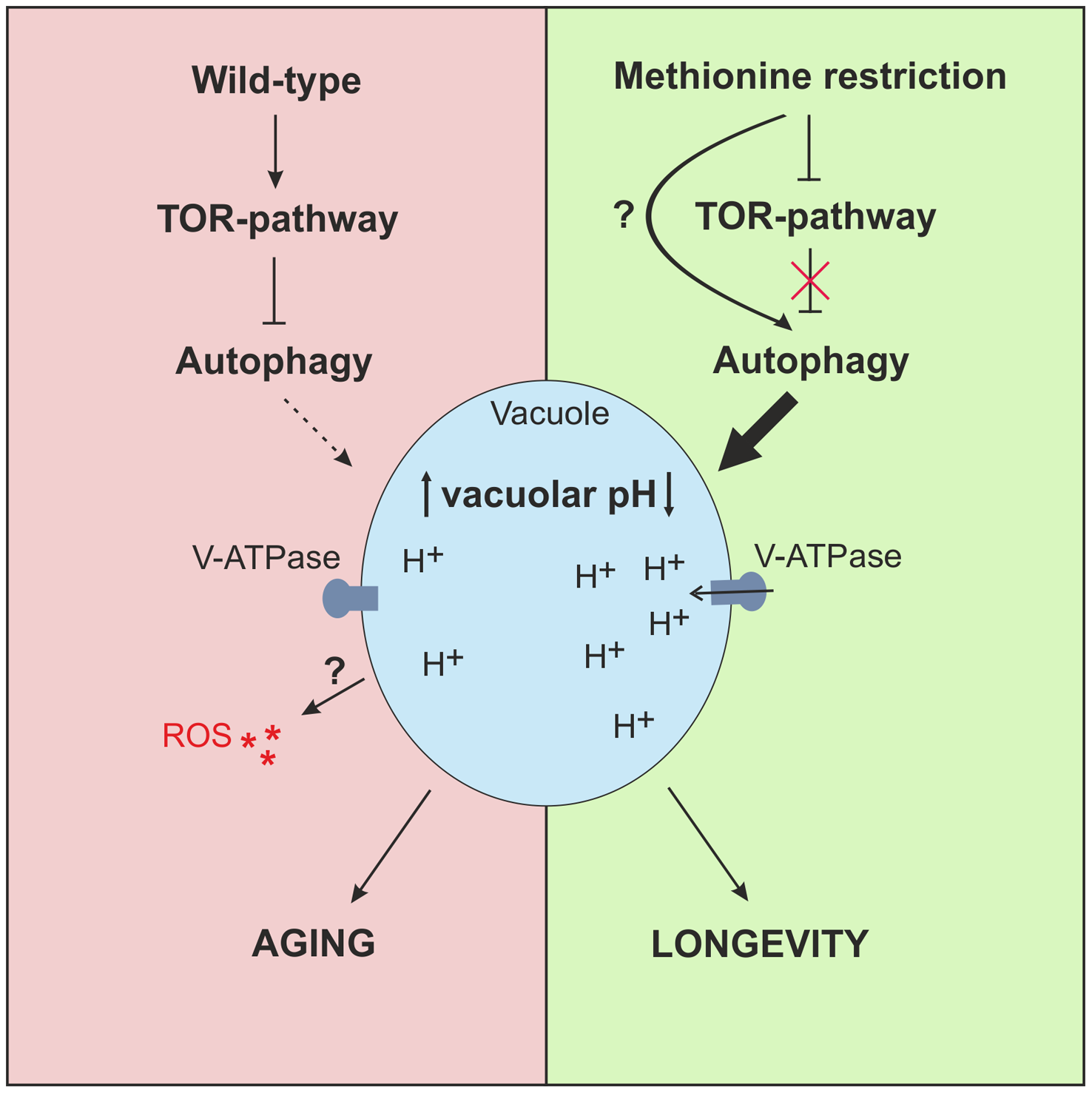 Model of MetR-mediated longevity.