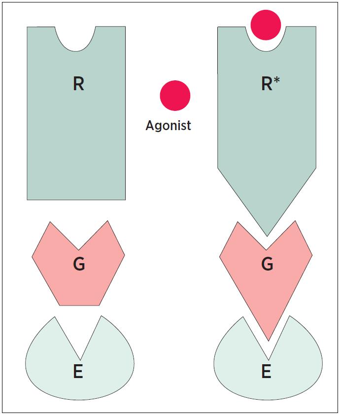 Schematické znázornění stavu receptoru R = receptor, G = protein, E = efektor, Agonist = agonista, hvězdička označuje aktivní stav