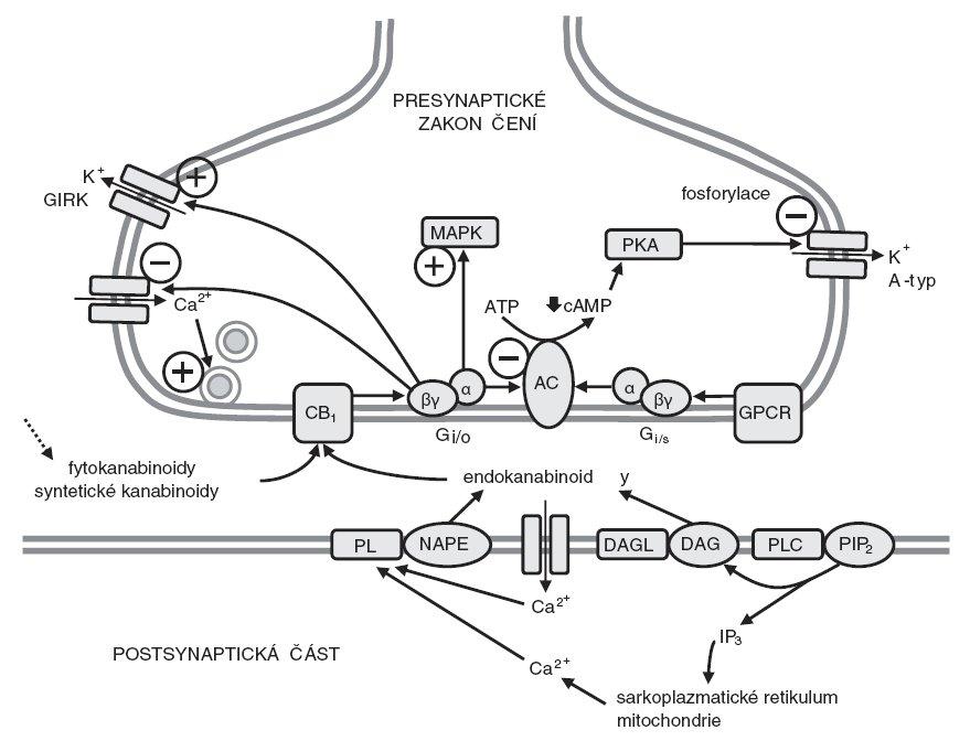 Mechanismy účinku kanabinoidů v mozku (podle [30, 31]). Syntéza endokanabinoidů je iniciována zvýšením koncentrace nitrobuněčného kalcia (vstupem Ca2+ přes napěťově řízené iontové kanály nebo přes interní iontové kanály aktivovaných receptorů; uvolněním z nitrobuněčných zásob), které spouštějí procesy vedoucí k aktivaci fosfolipas (PL) nebo hydroláz. Tyto membránové enzymy katalyzují hydrolýzu membránových lipidů (NAPE) a uvolňuje se anadamid; 2-arachidonoylglycerol je uvolňován z diacylglycerolu (DAG) aktivovanou diacylglycerollipázou (DAGL). Endokanabinoidy, fytokanabinoidy nebo syntetické kanabinoidy aktivují kanabinoidní receptory typu 1 (CB1). Aktivace presynaptických CB1 receptorů vede k aktivaci Gi/o proteinů, které inhibují adenylátcyklázu (AC) a stimulují mitogenem aktivované proteinkinázy (MAPK). To vede ke snížení produkce cyklického adenosinmonofosfátu (cAMP), inhibici napěťově řízených kalciových kanálů a stimulaci specifických draselných kanálů (GIRK). Inhibice toku kalciových iontů do presynaptických zakončení způsobuje snížené uvolňování různých neurotransmitérů. Snížené koncentrace cAMP vedou ke snížené aktivaci protenkinázy A (PKA), snížené fosforylaci napěťově řízených draselných kanálů (A-typ) a dalšímu zvýšení výtoku draselných iontů. Aktivace CB1 receptorů může také ovlivnit funkci mnoha dalších receptorů spřažených s G proteiny (GPCR), které aktivují nebo inhibují AC.