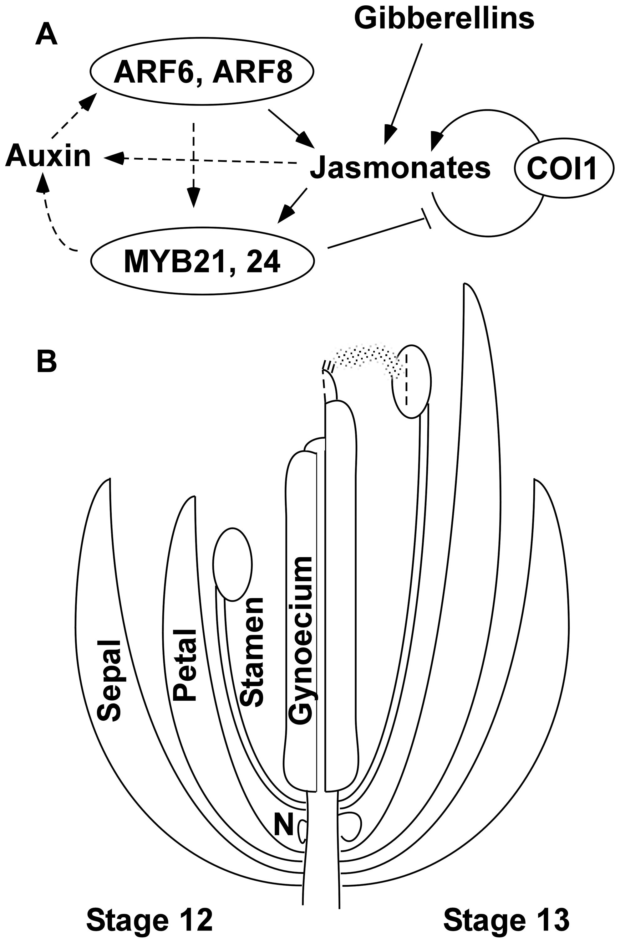 Genetic model of Arabidopsis flower maturation.