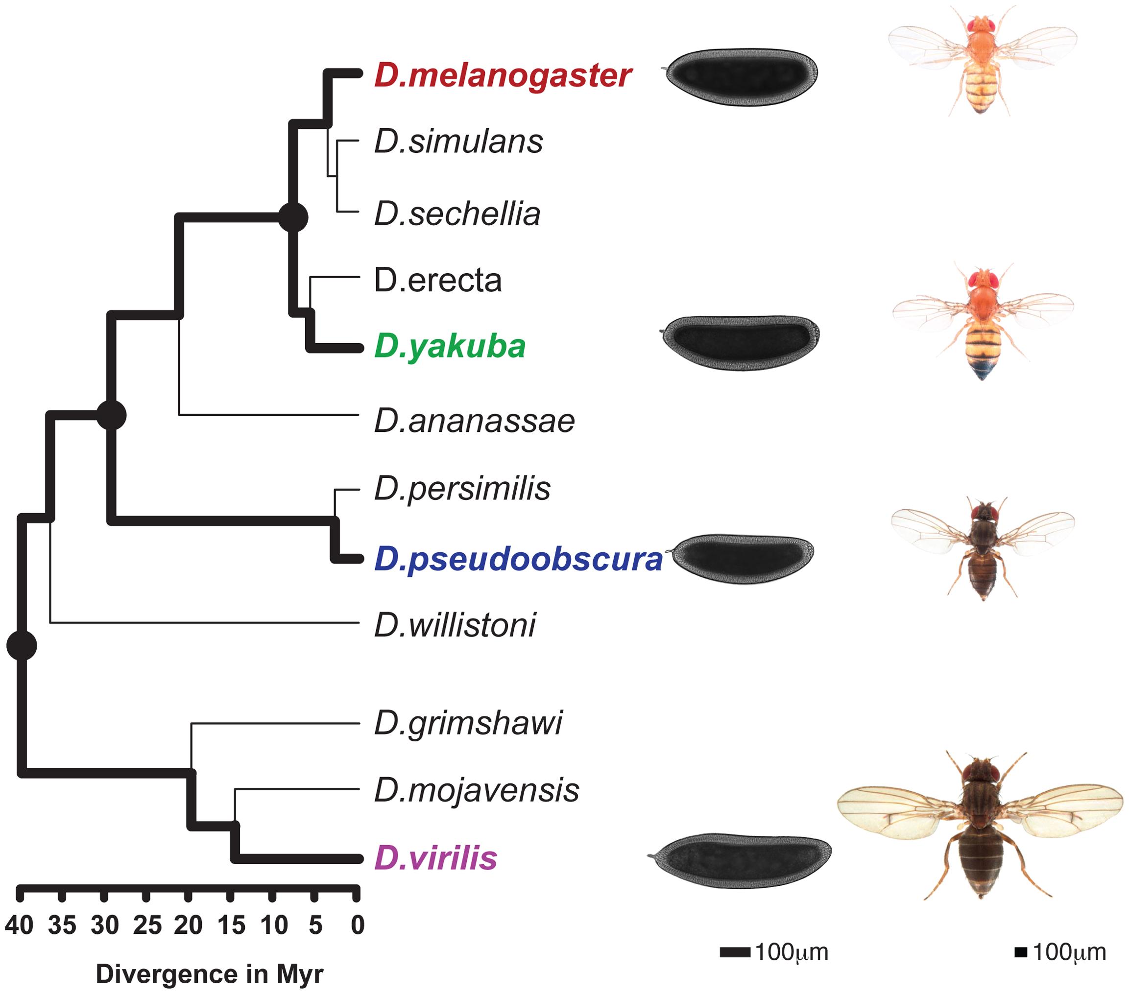 Phylogenetic tree of the <i>Drosophila</i> genus.