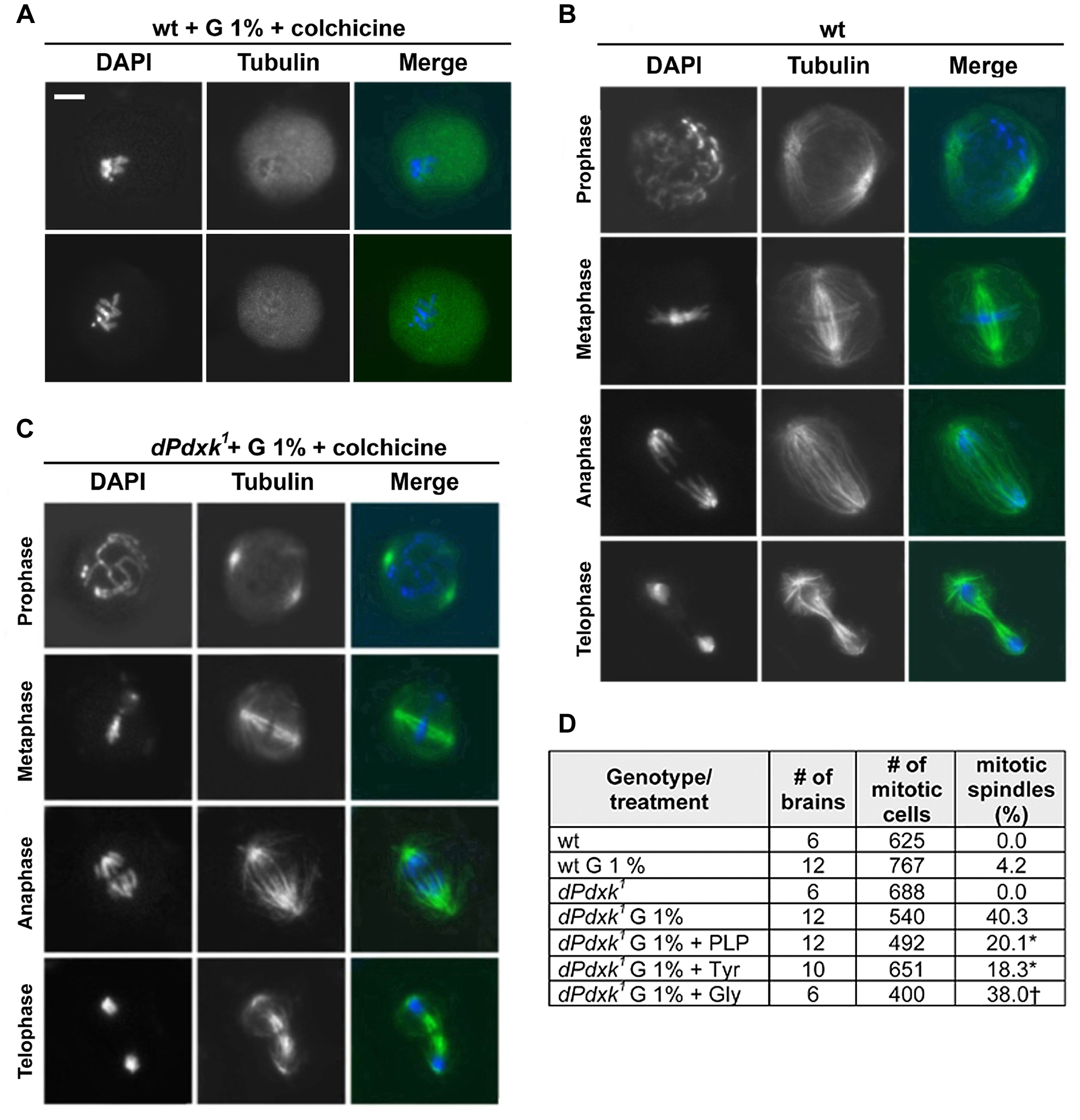 The spindles of glucose-treated <i>dPdxk</i> mutant brains are resistant to colchicine-induced depolymerization.