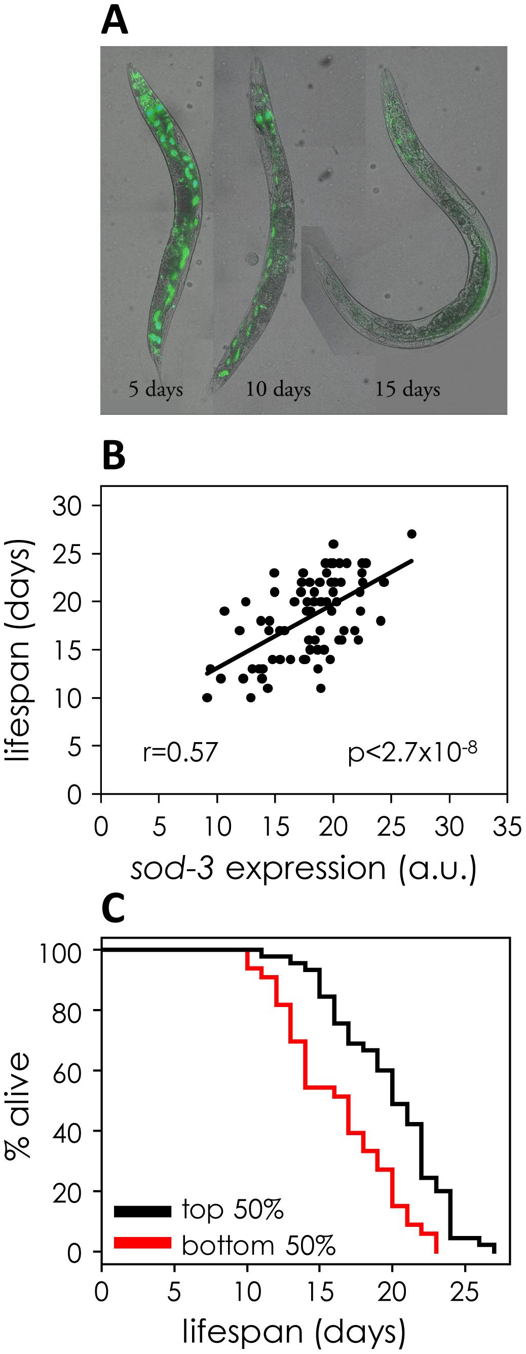 <i>sod-3</i> expression correlates with remaining lifespan.