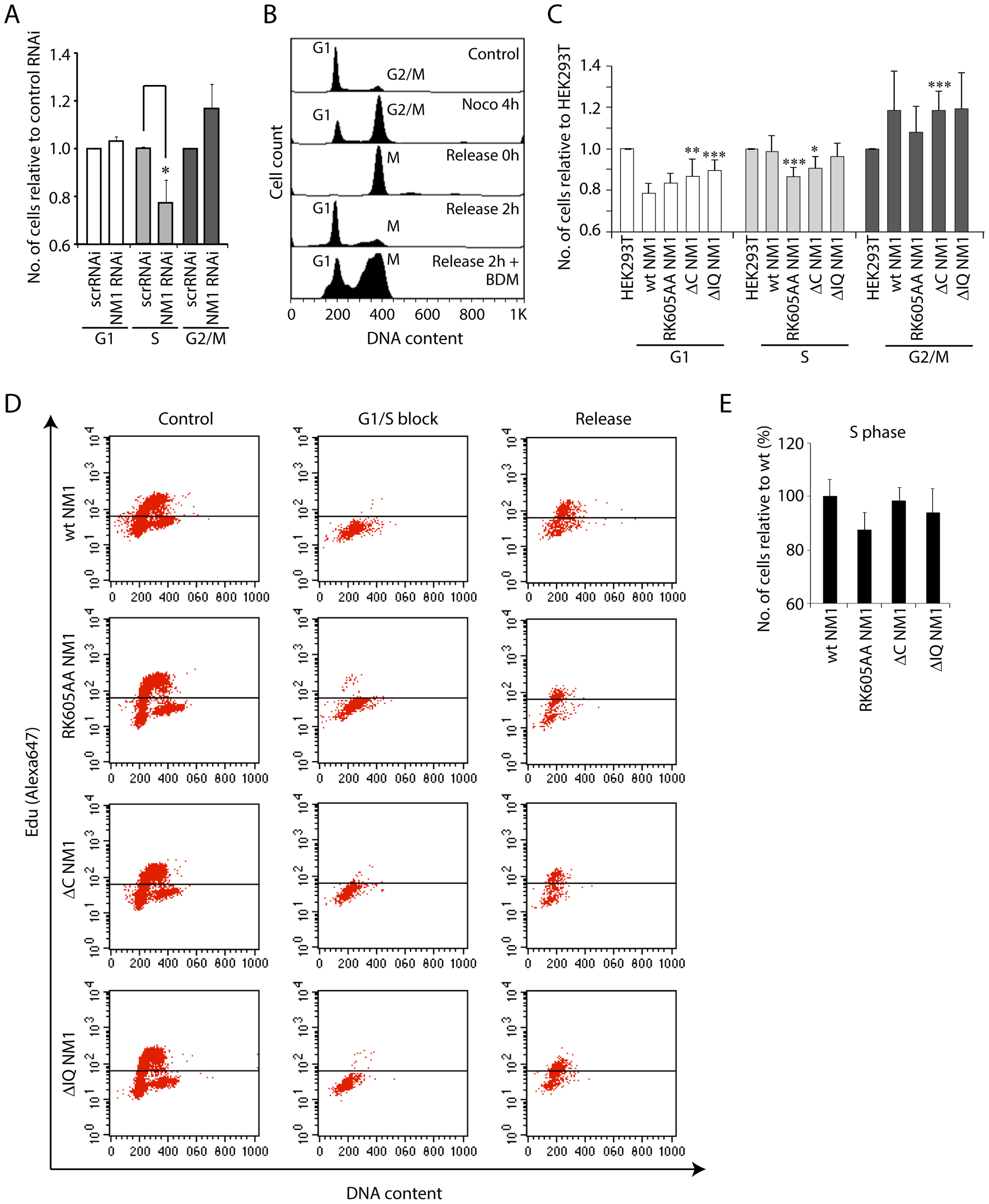 NM1 gene silencing by RNAi leads to a delay in cell cycle progression.