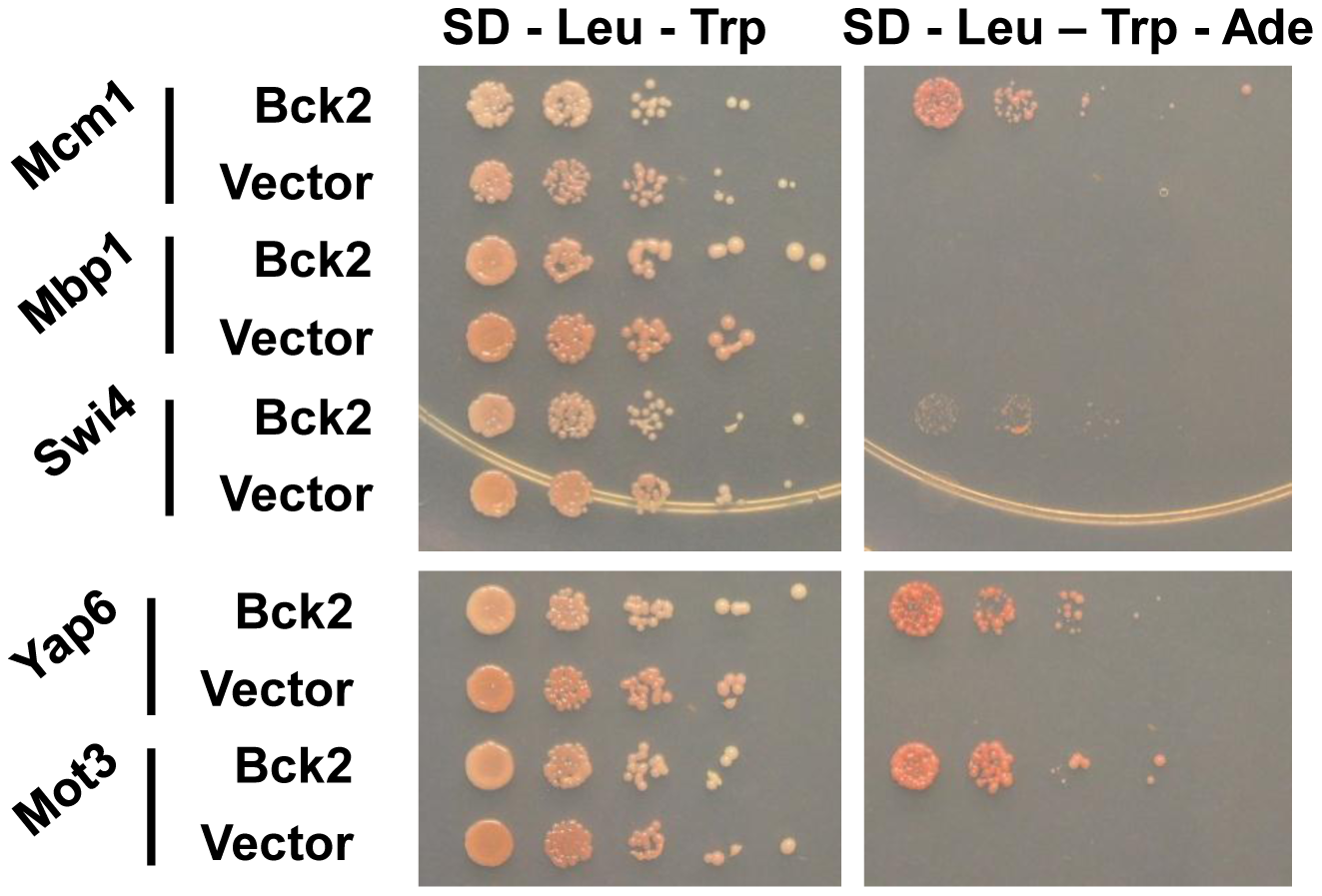 Bck2-interacting proteins identified in a genome-wide yeast two-hybrid screen.