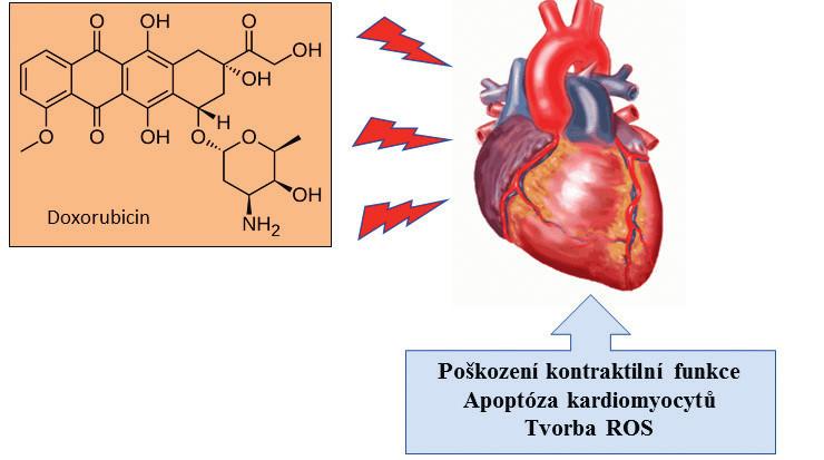 Schéma účinku doxorubicinu na srdeční sval a symptomy kardiotoxicity. Dochází k poškození na molekulární úrovni: chronické přetížení vápenatými ionty, energetická nerovnováha a vazba na kardiolipin nacházející se ve vnitřní membráně mitochondrií srdečních buněk. Dlouhodobý účinek doxorubicinu může vyvolat selhání srdce.