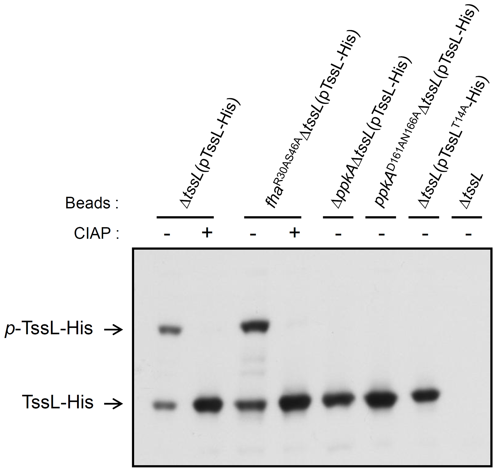 Phos-tag SDS-PAGE for TssL phosphorylation analysis in various mutants.