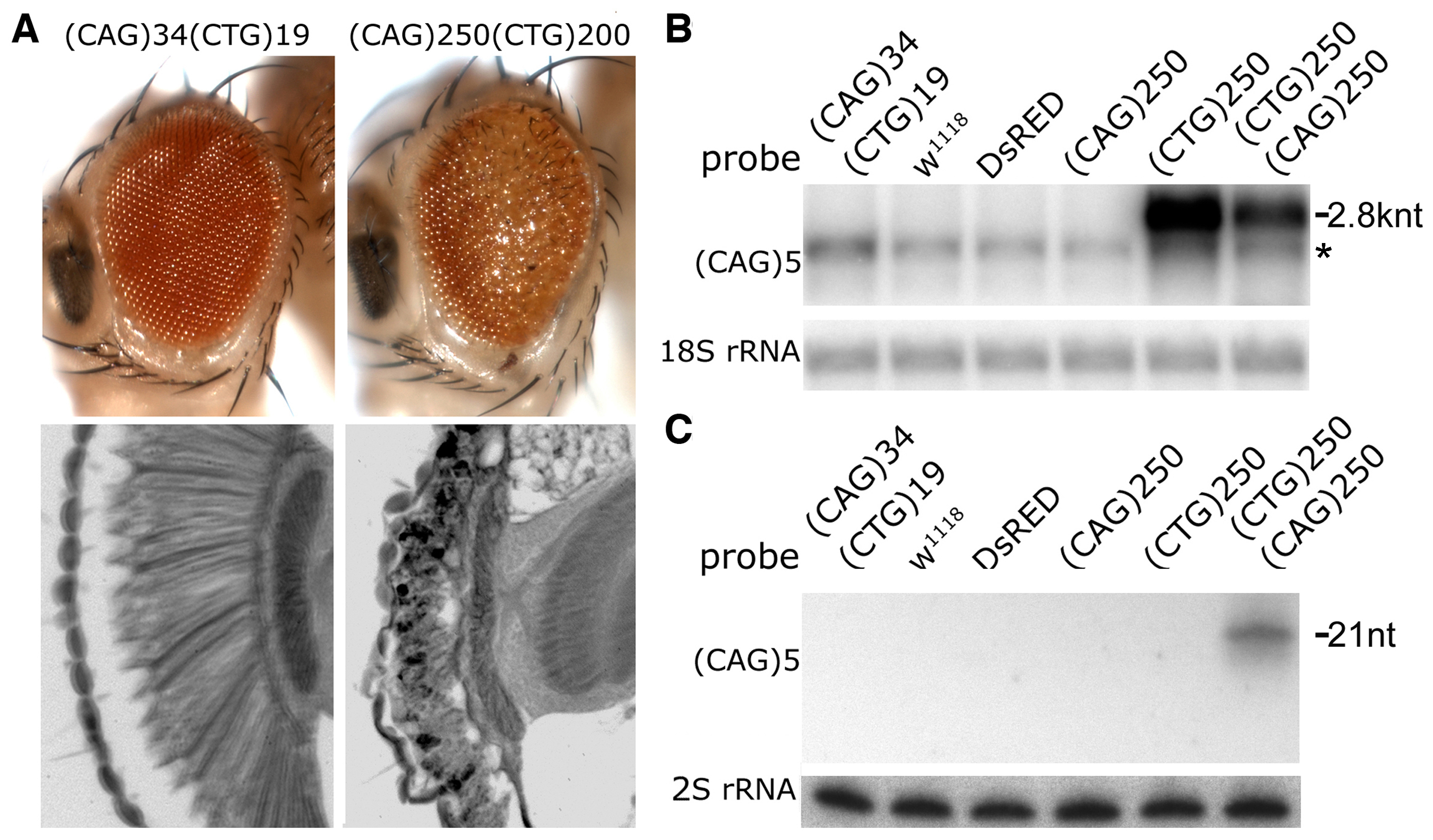 Interaction between expanded CAG and CTG repeat transcripts causes biogenesis of small RNAs.